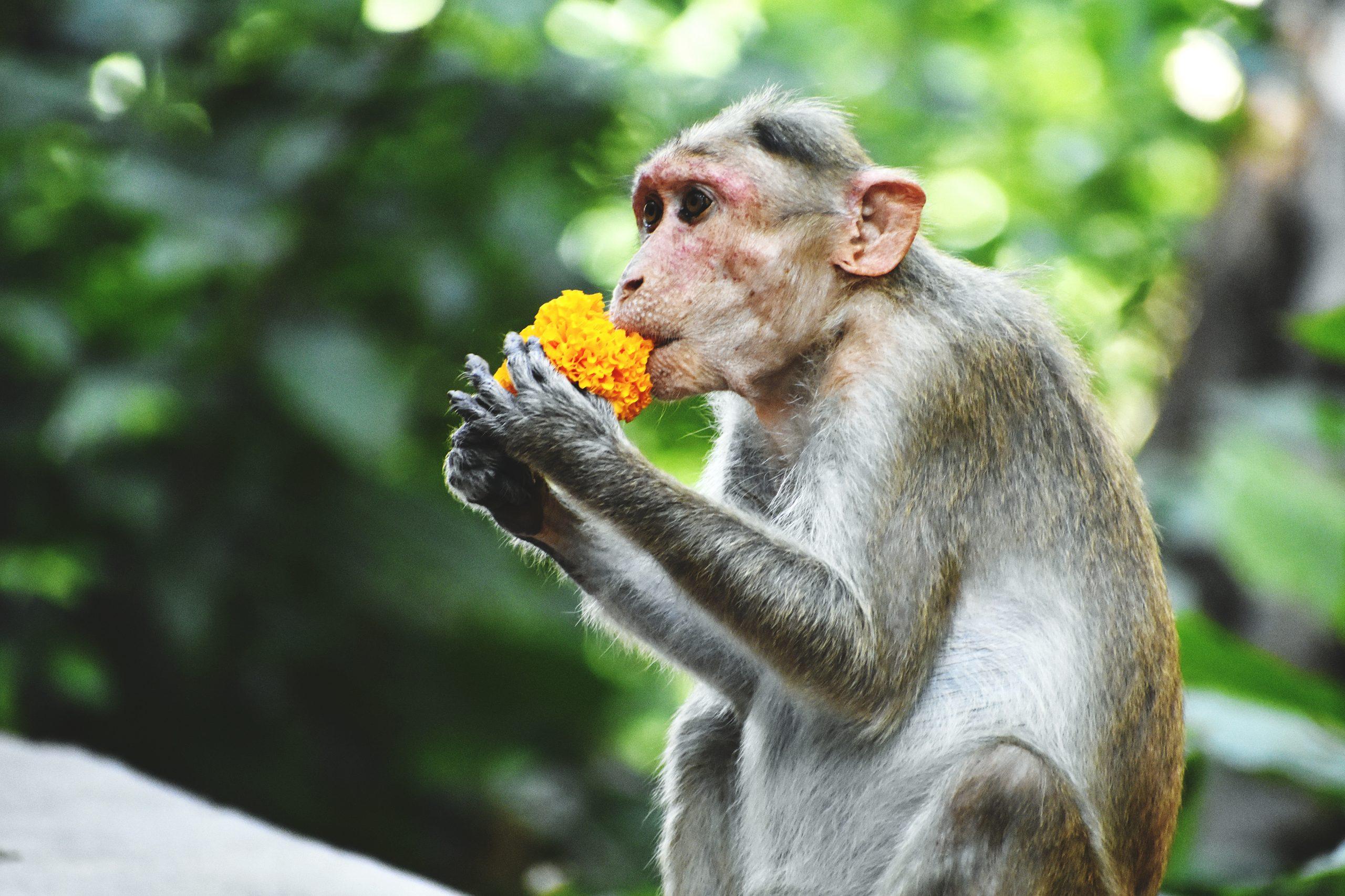 A monkey eating something