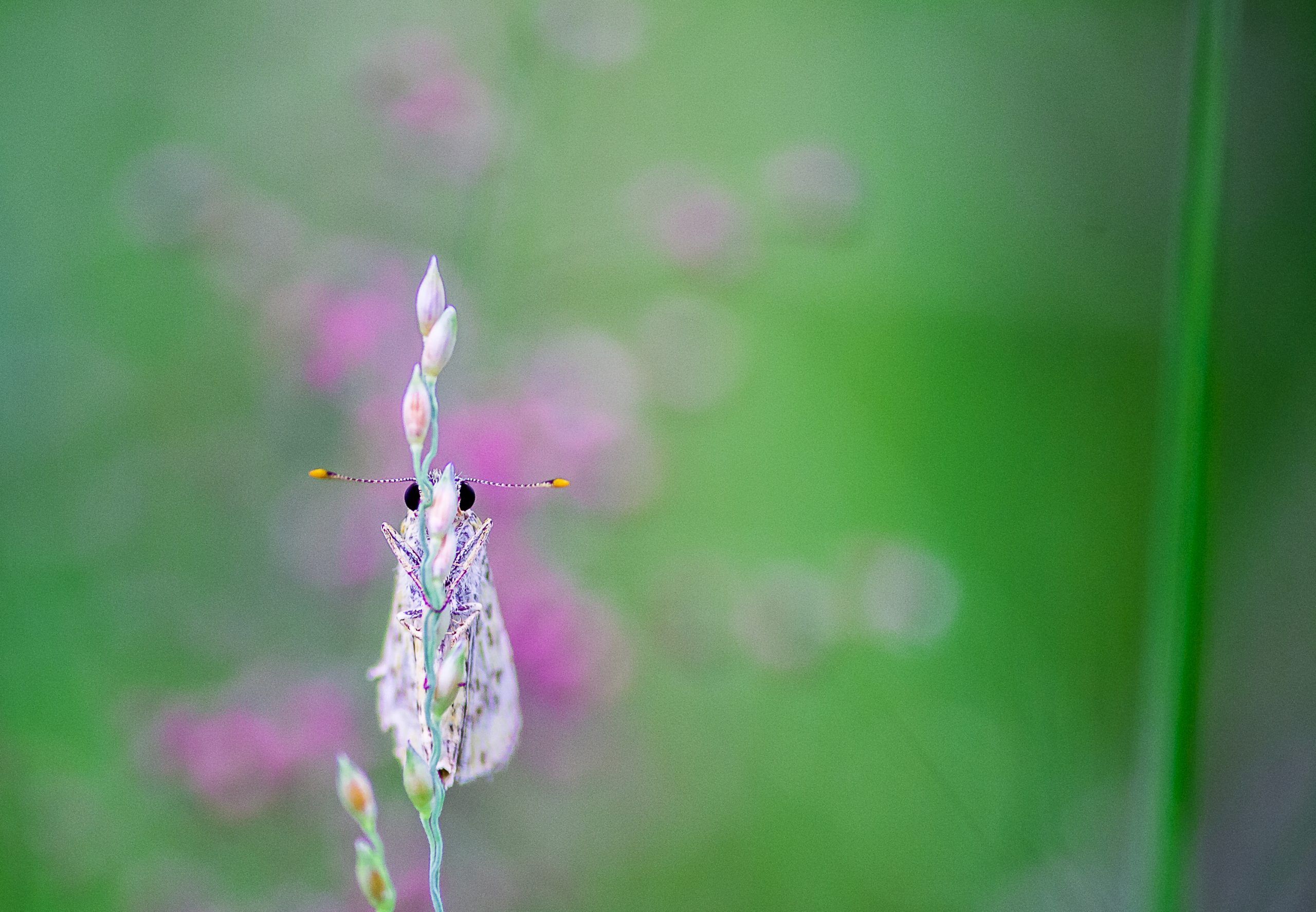 A moth on a flower bud
