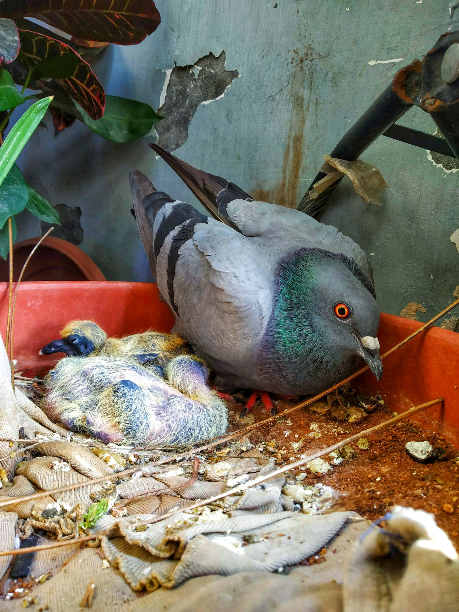 A pigeon with squabs