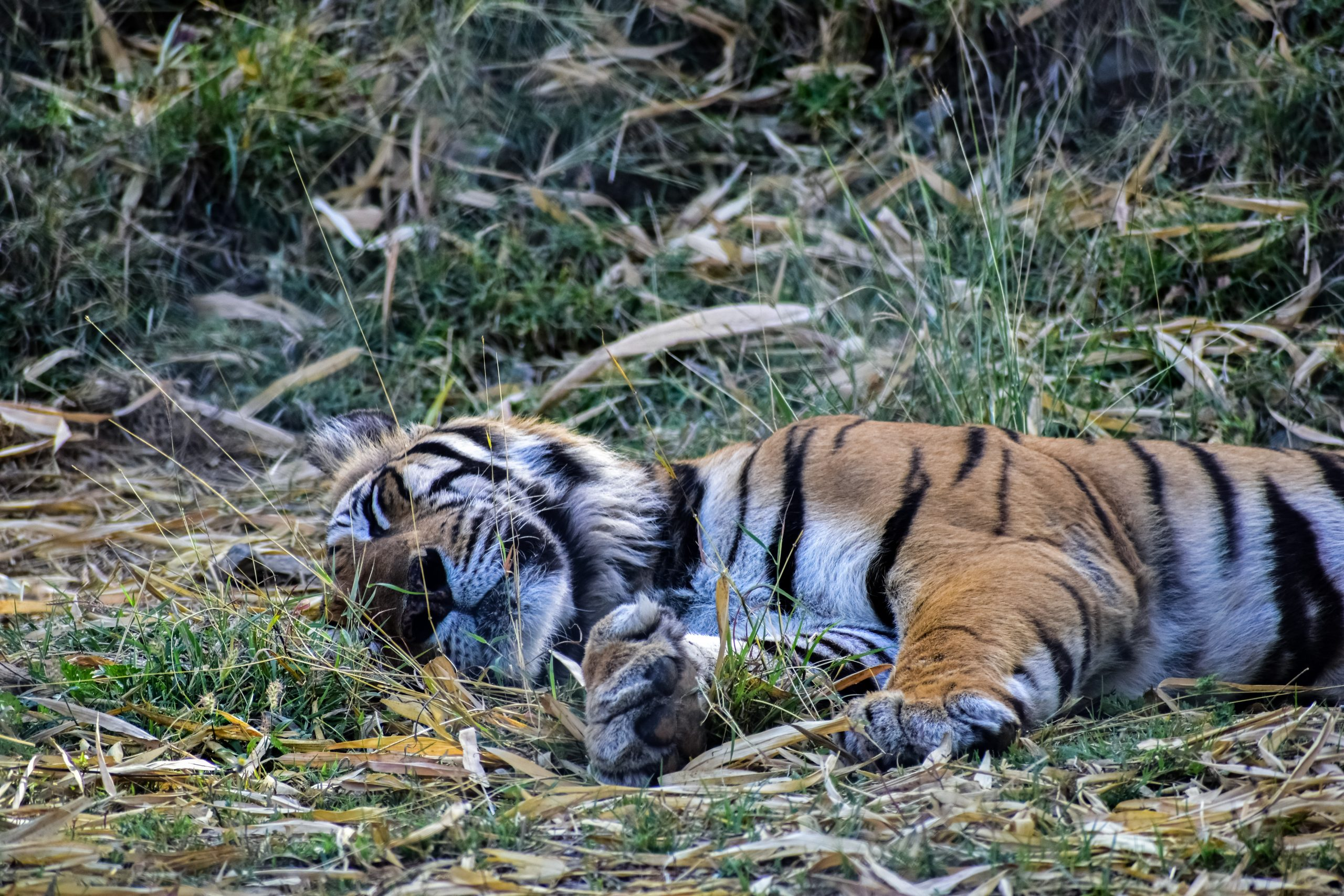 A sleeping Bengal tiger