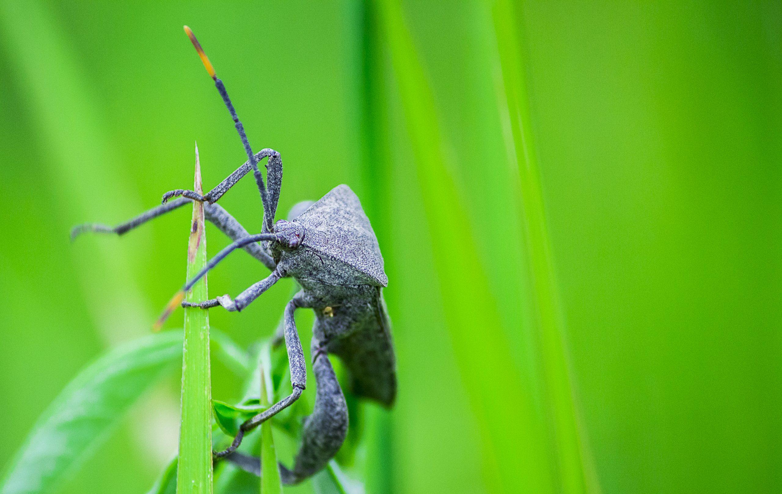 A stink bug on a grass straw