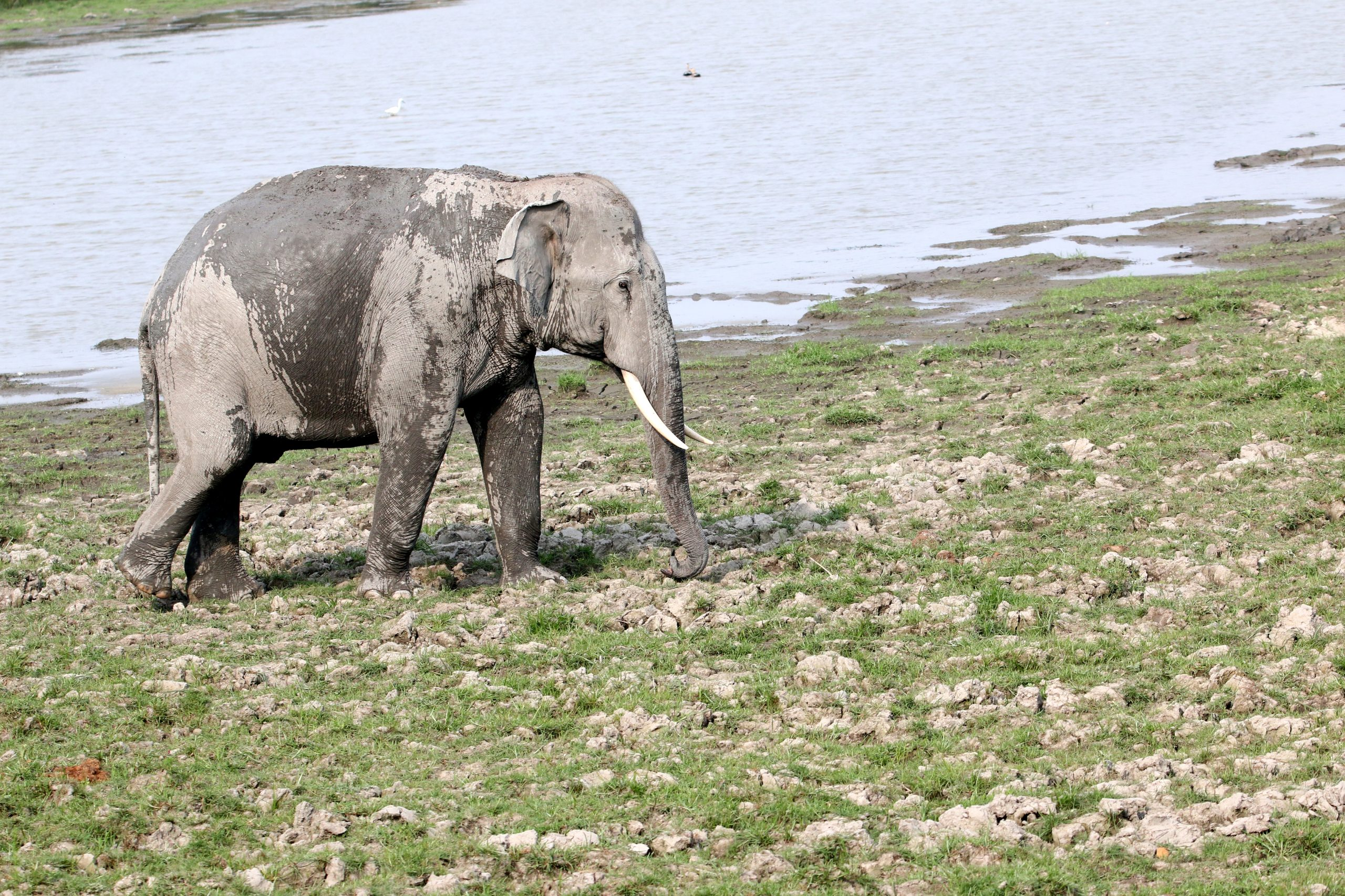 An elephant near a river
