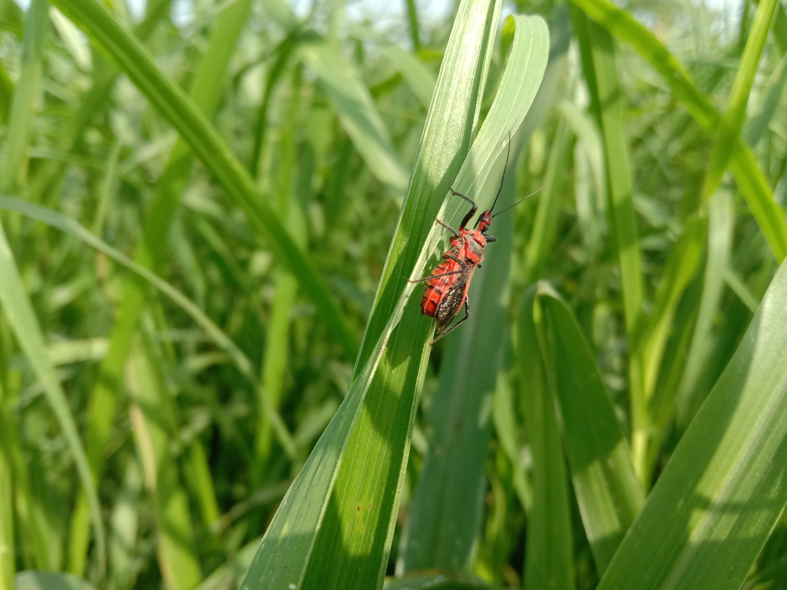An insect on grass leaf