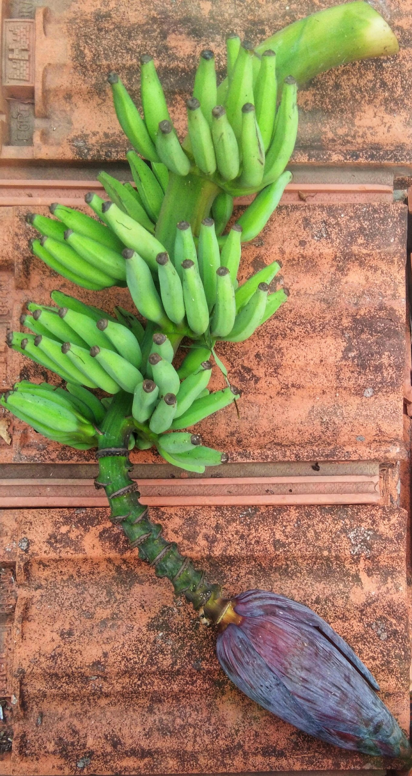 A banana cluster