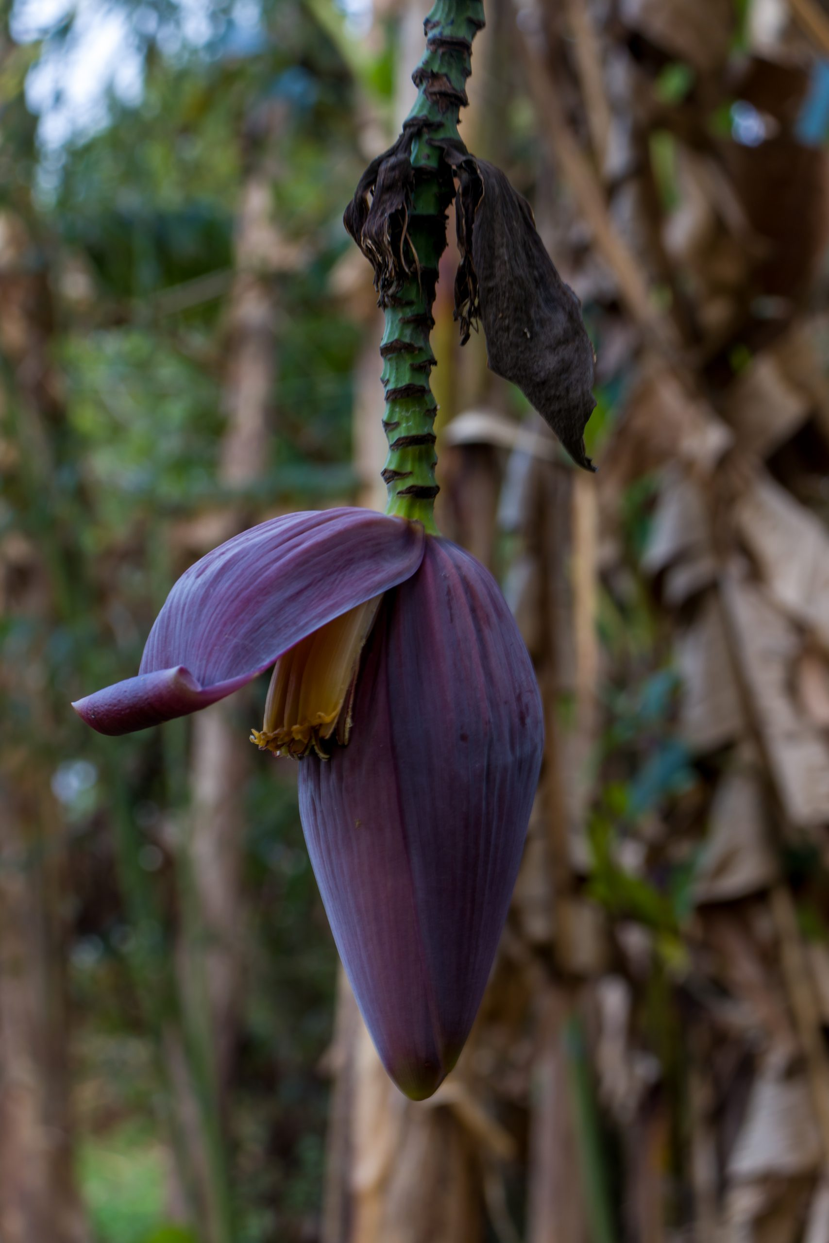 Banana fruit flower