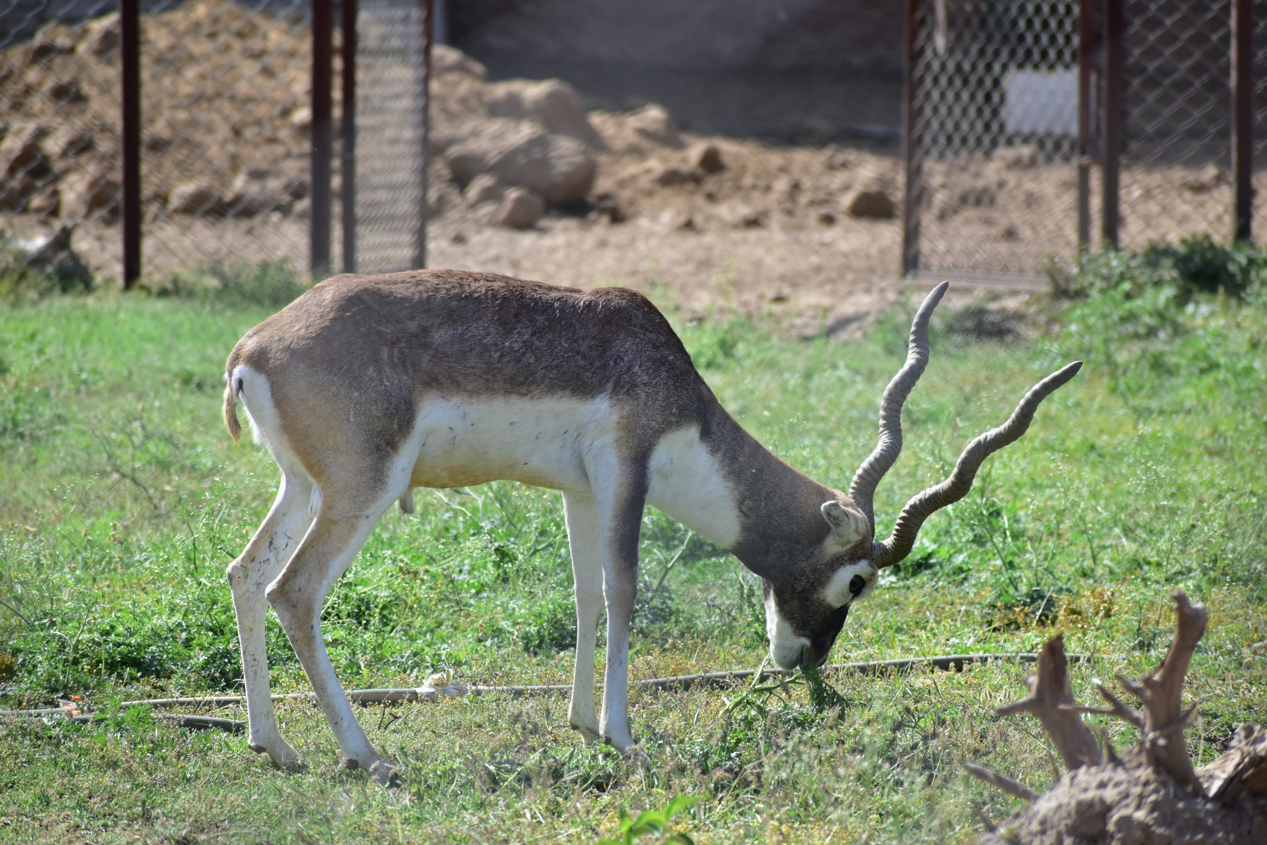 Blackbuck in zoo