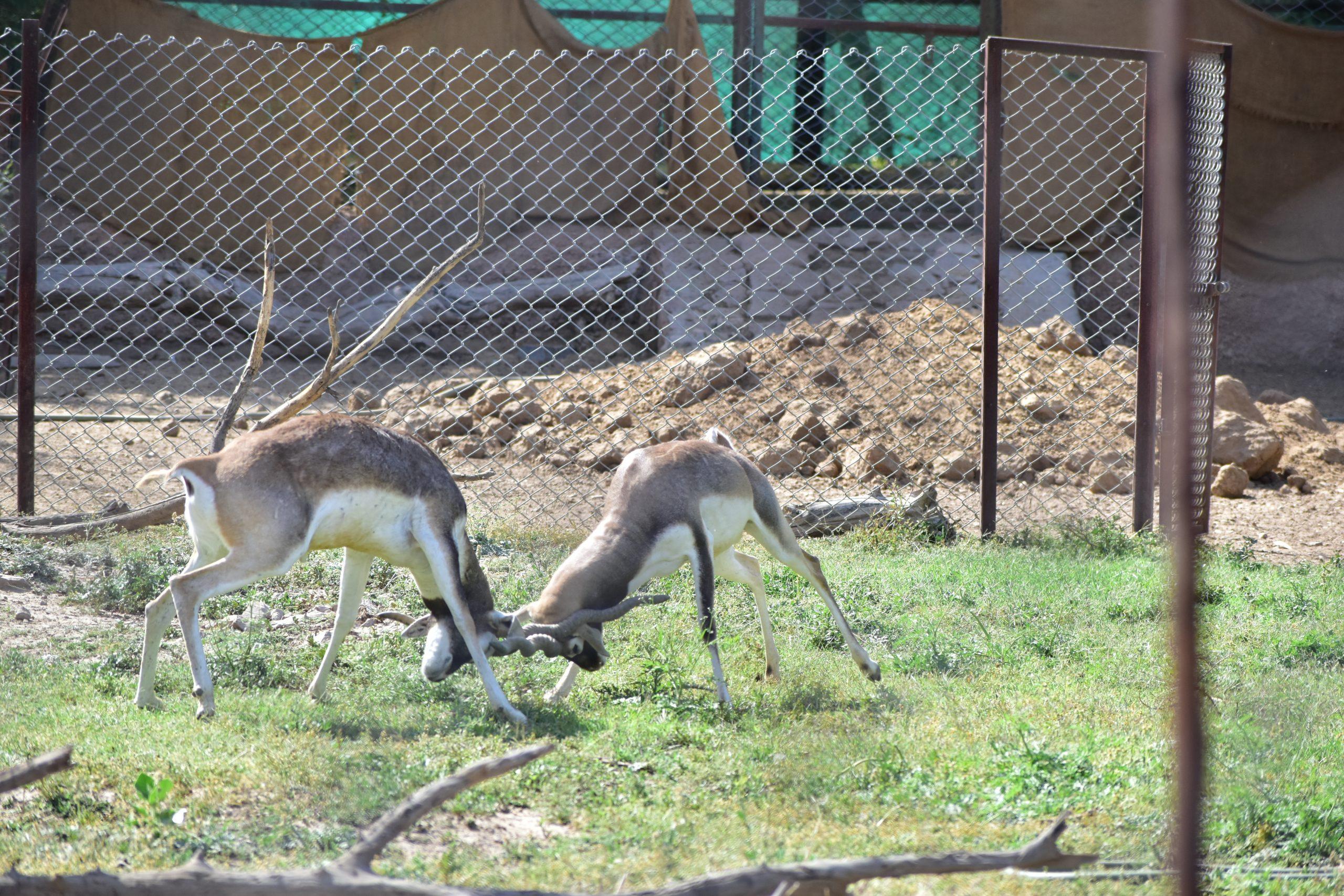 Blackbucks fighting in the steel cage