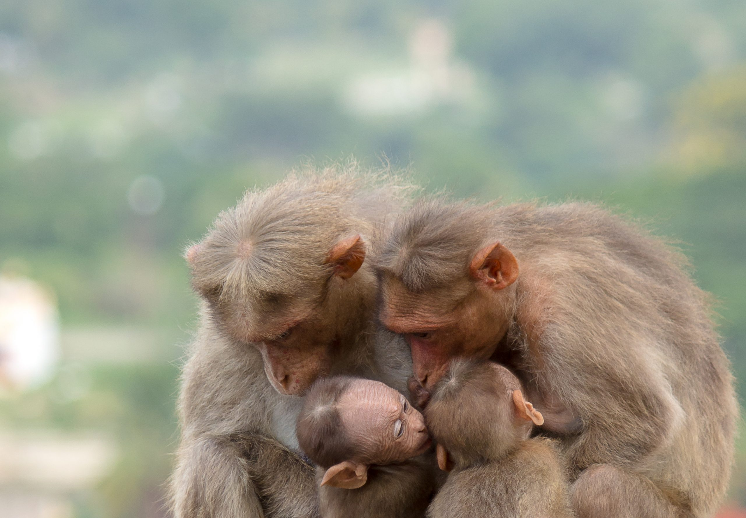 Bonnet macaque Monkeys
