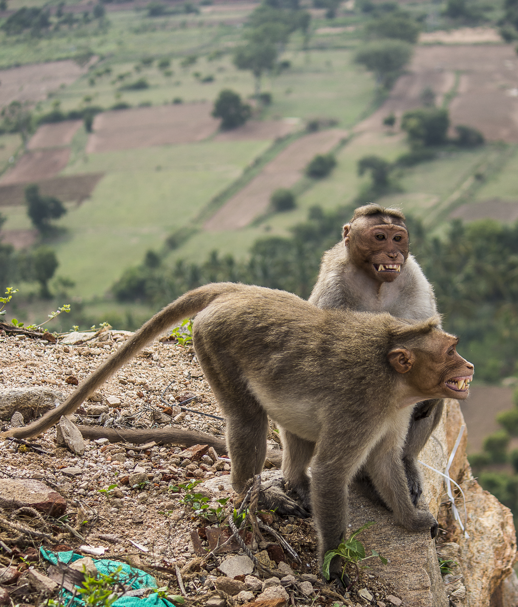 Bonnet macaque monkeys on a hill