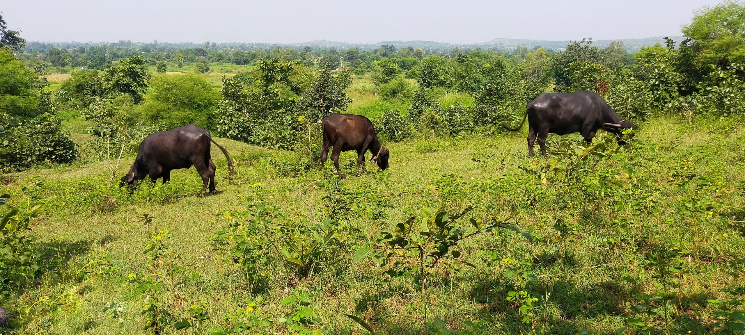 Buffalo grazing the grass from the forest