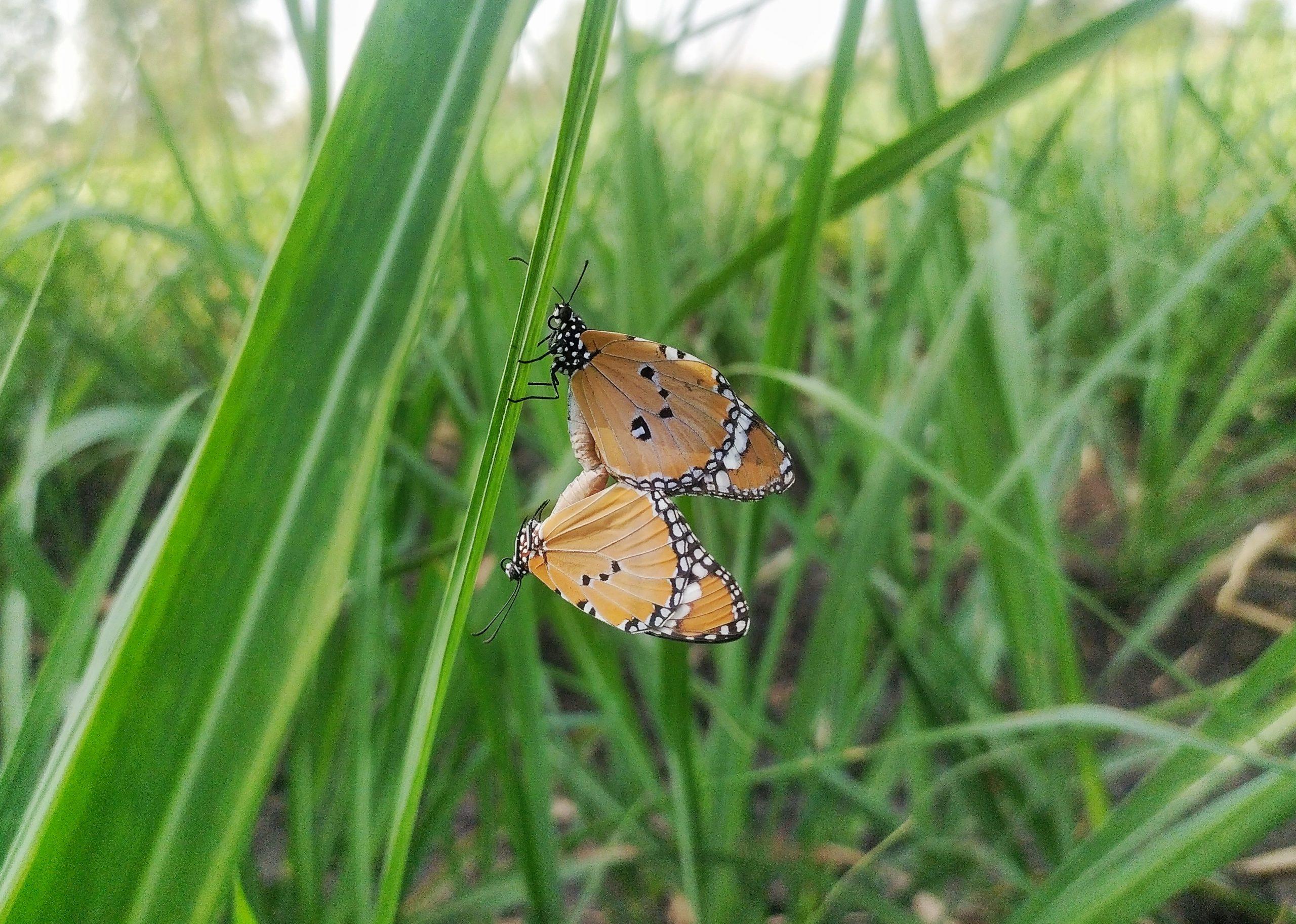 Butterflies on green grass