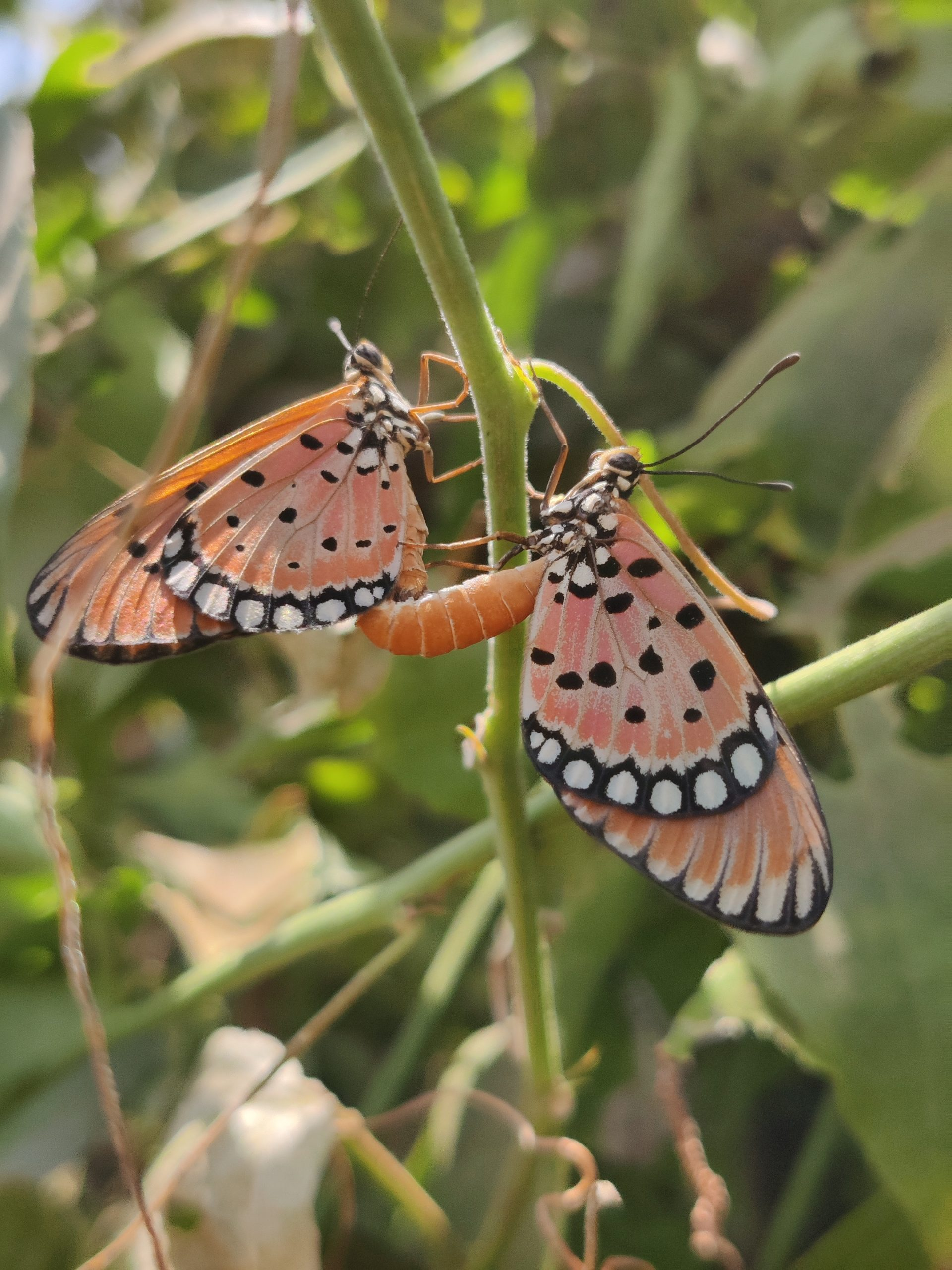 Two butterflies on a plant stem