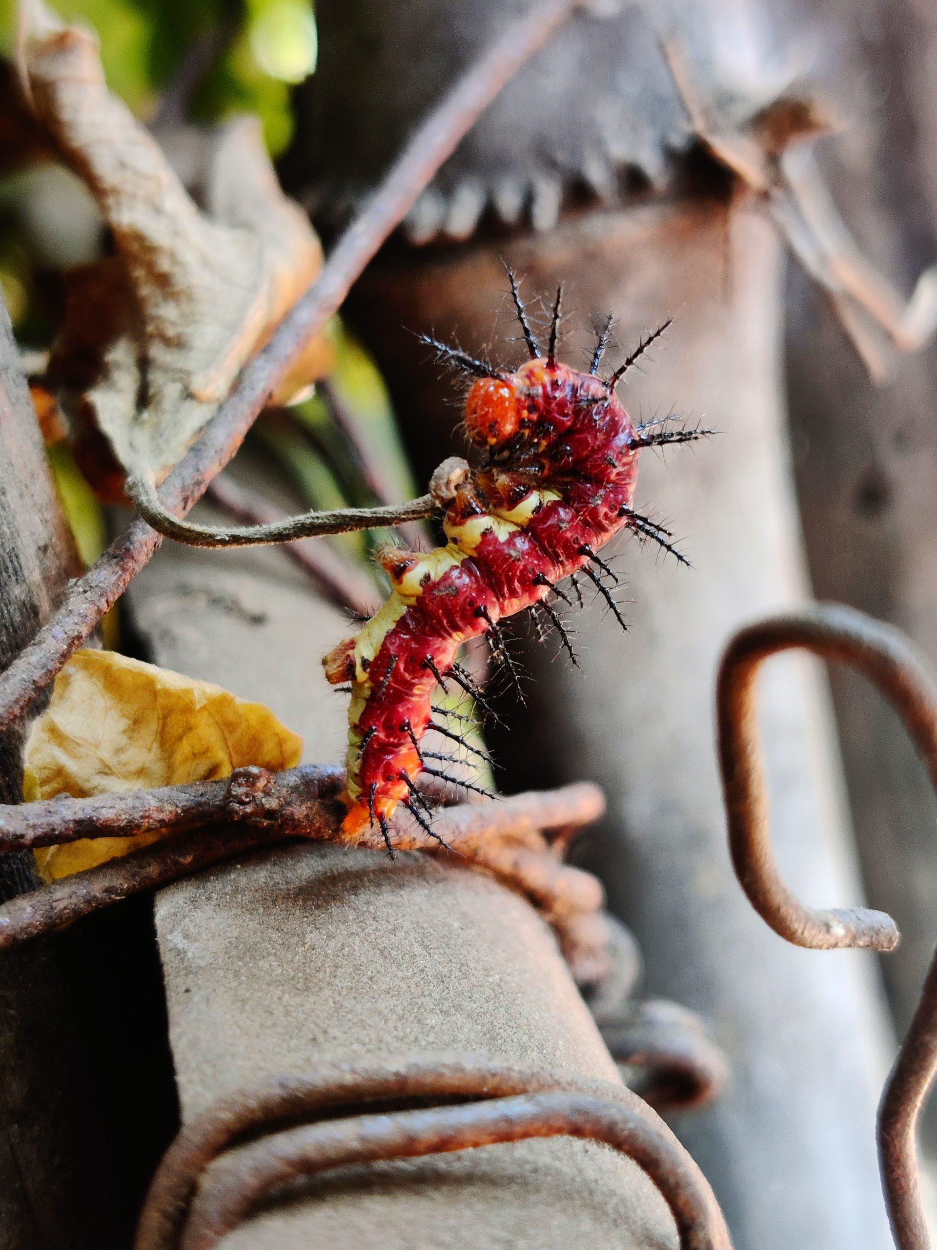 A thorny worm