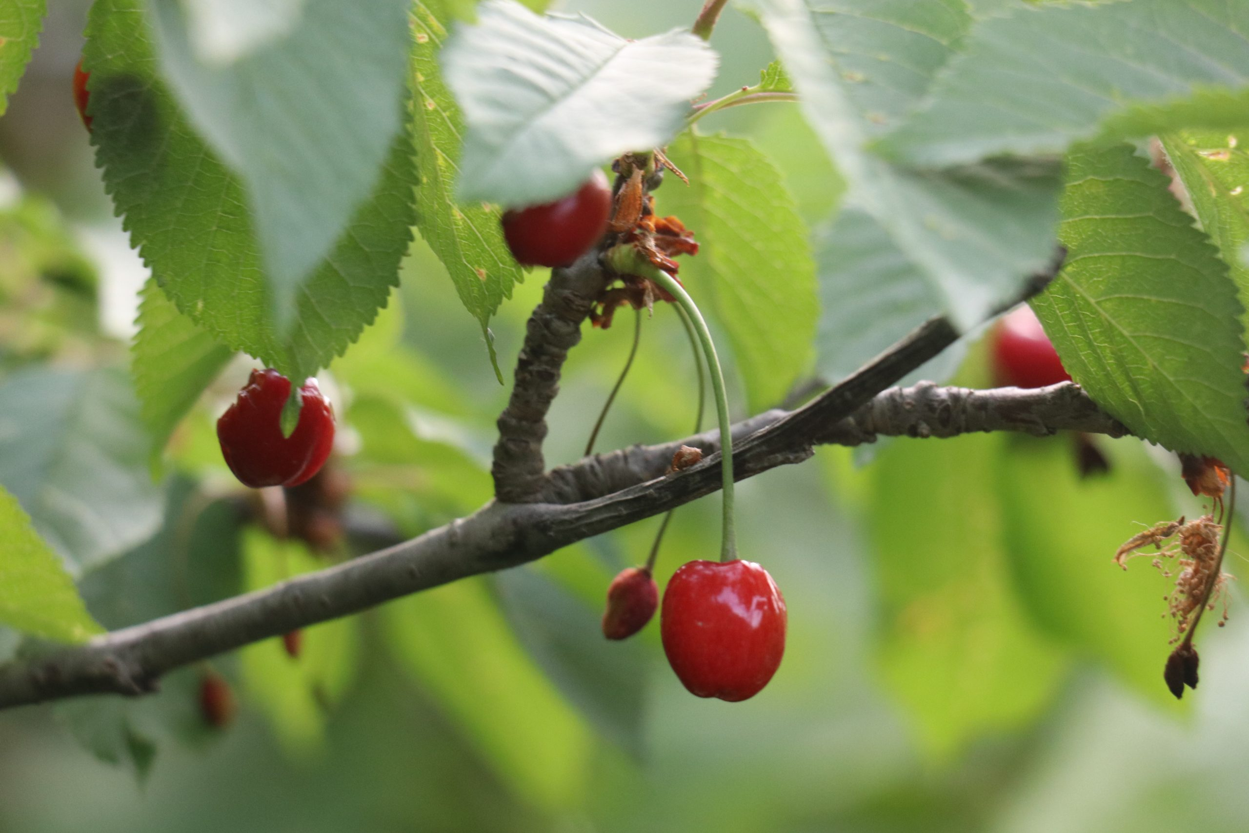 Red cherries growing on a plant