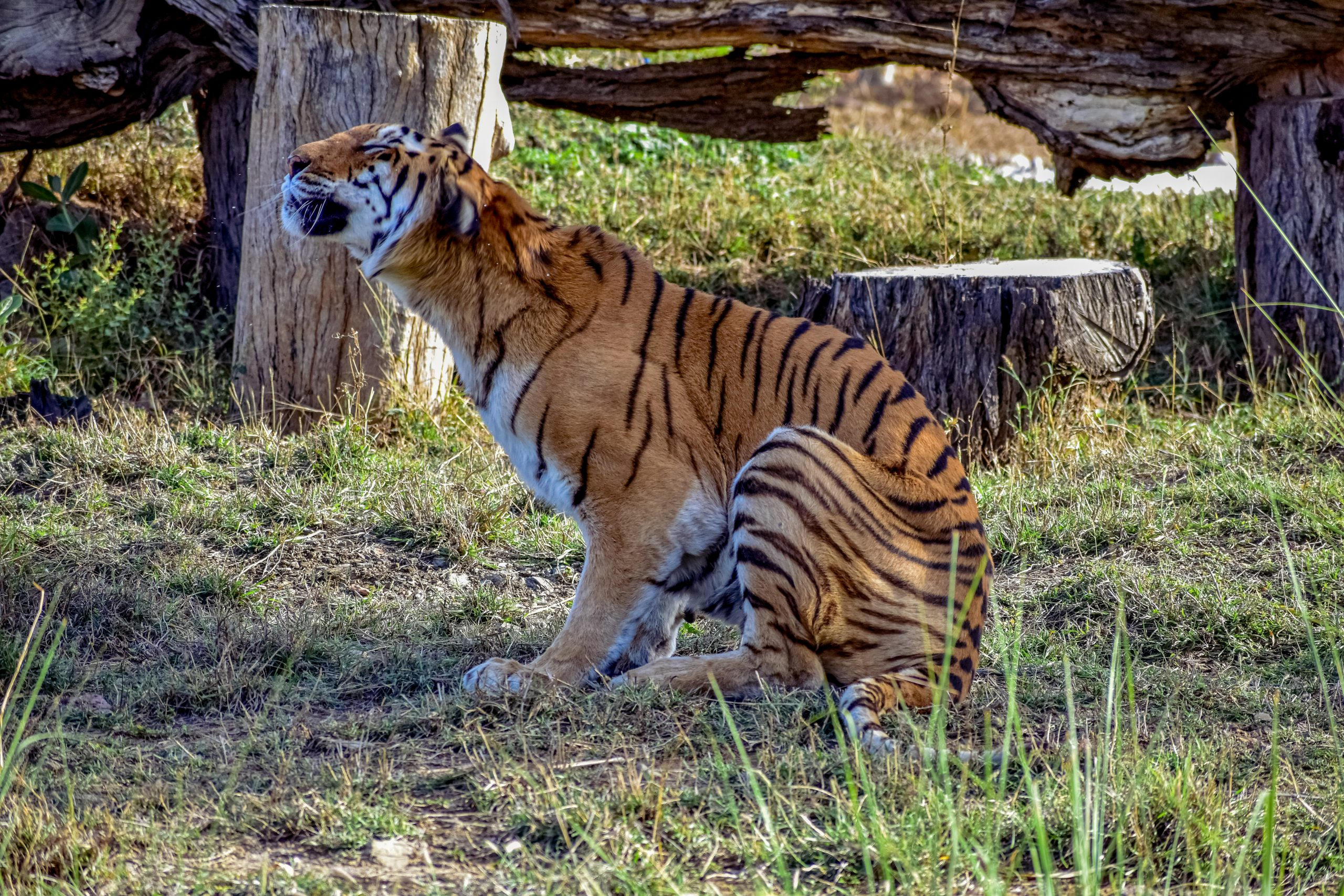 A Bengal tiger in a zoo
