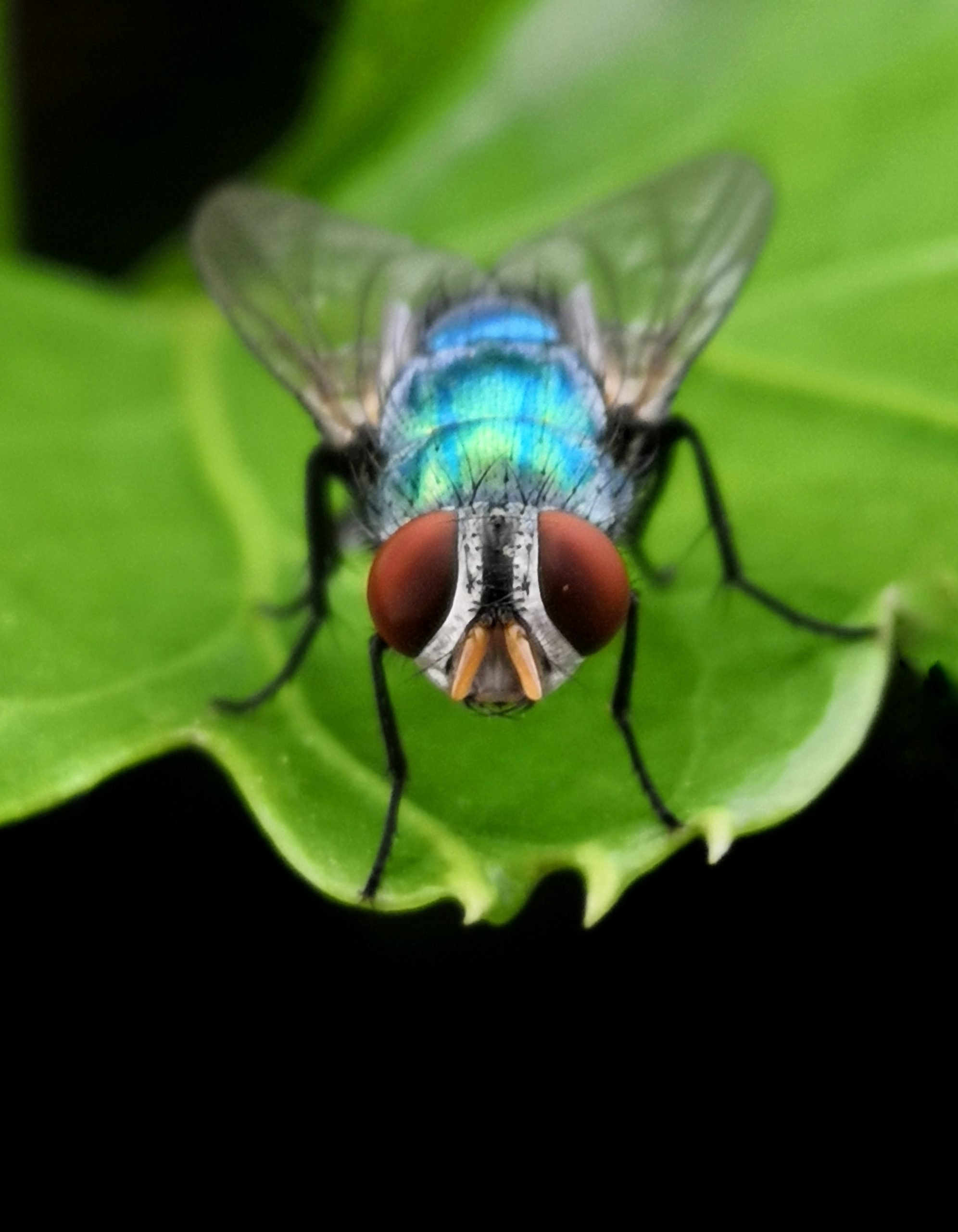Close up of a housefly