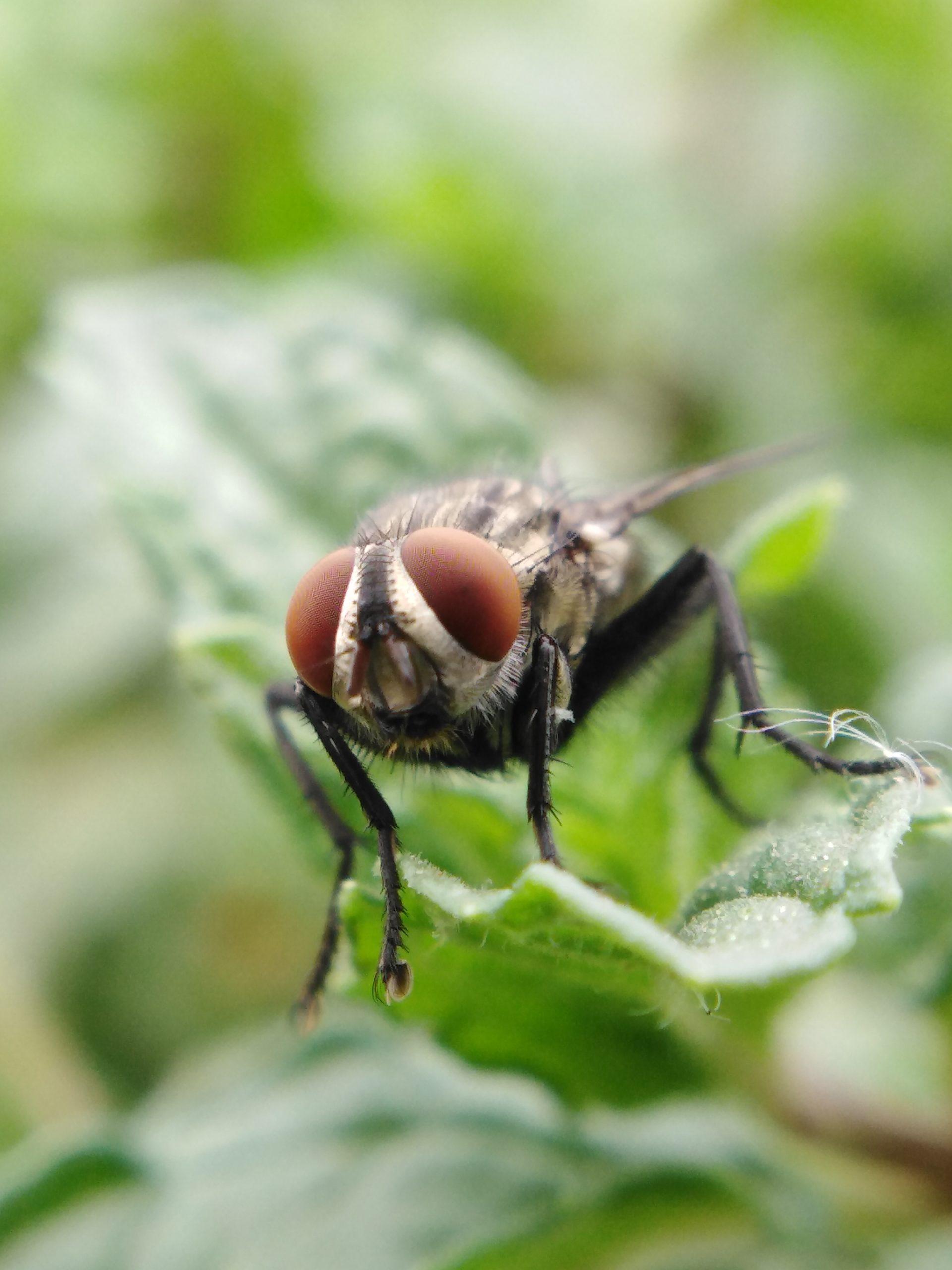 Closeup of a housefly