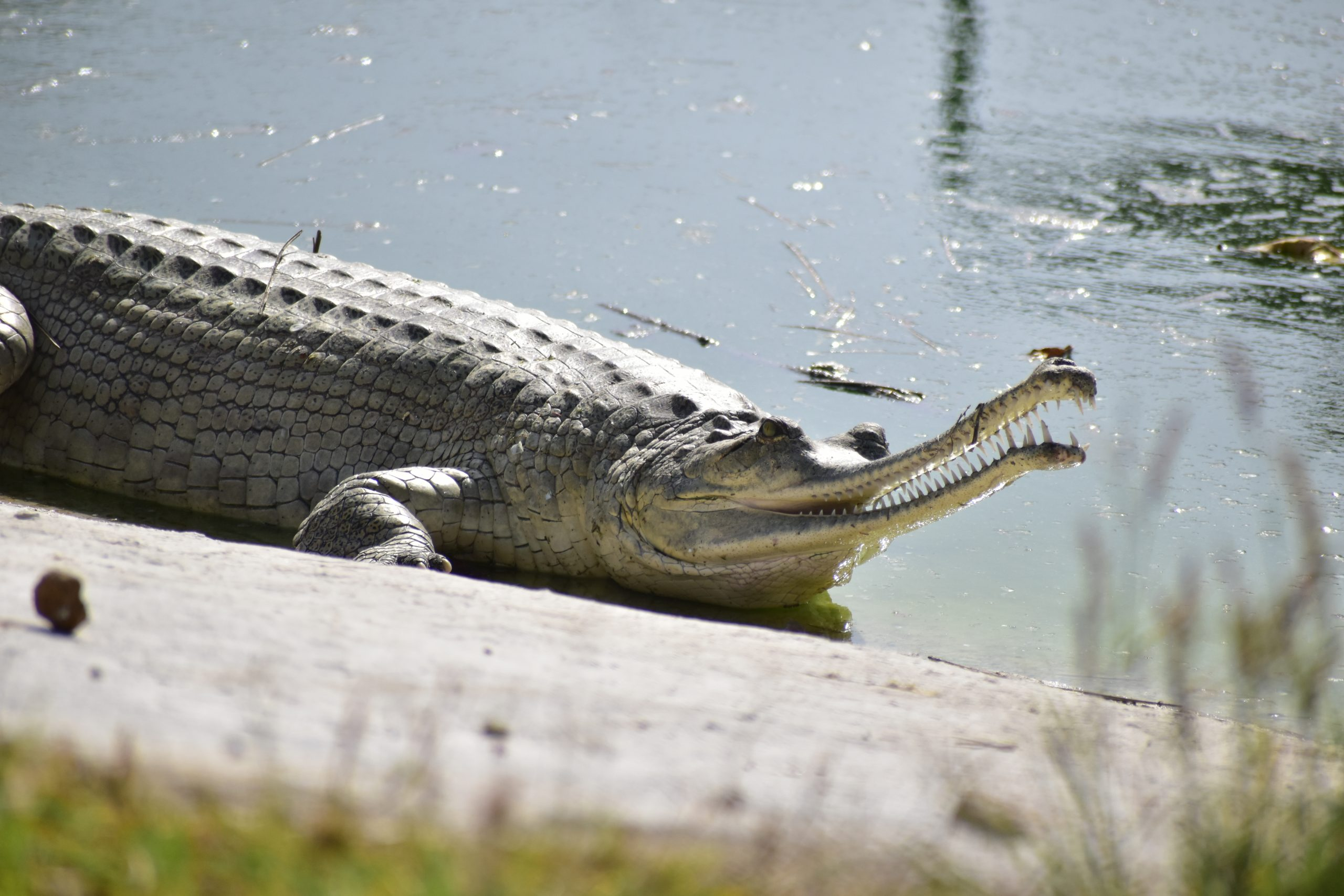 Crocodile in the pond