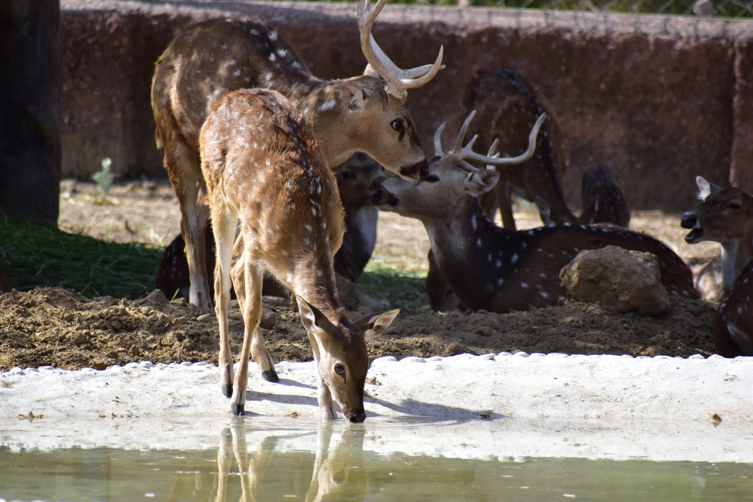 Deer drinking water from the river