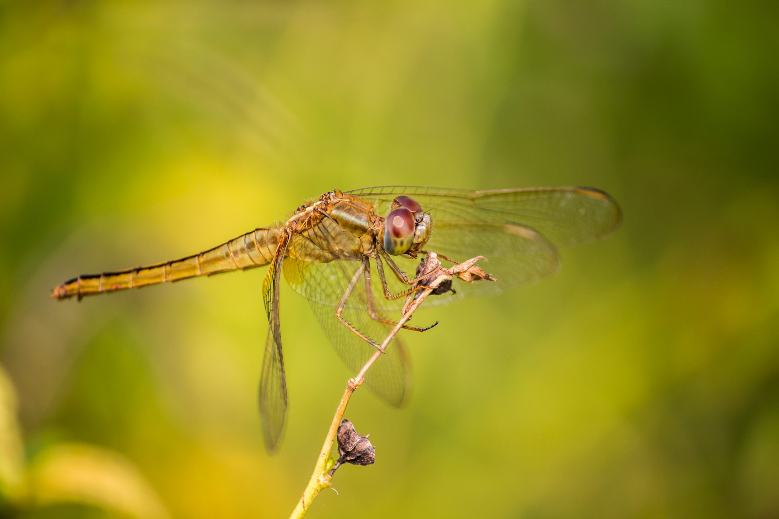 Dragonfly Sitting on the Twig