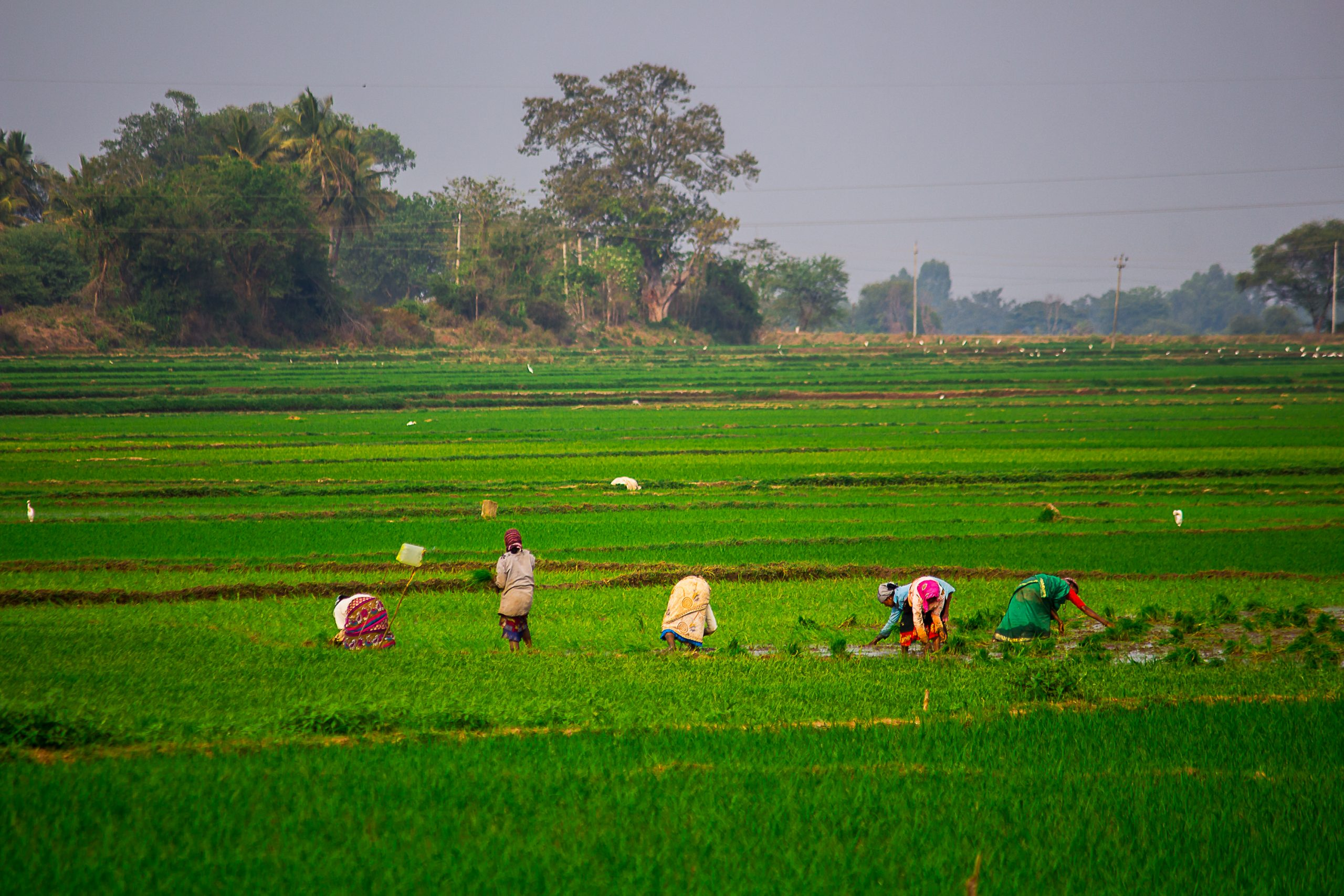 Farmers working in the Paddy Field