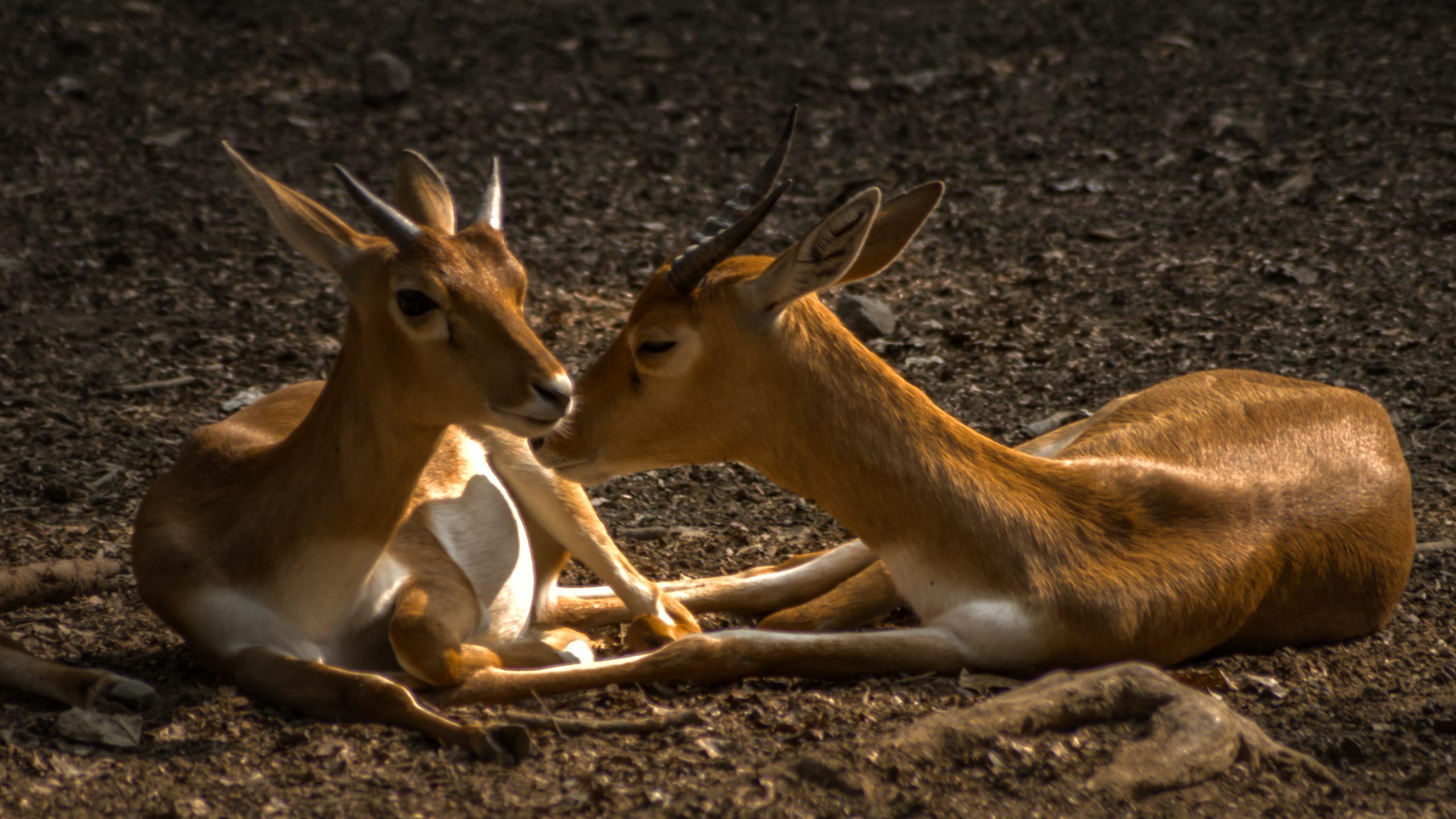 Indian deer