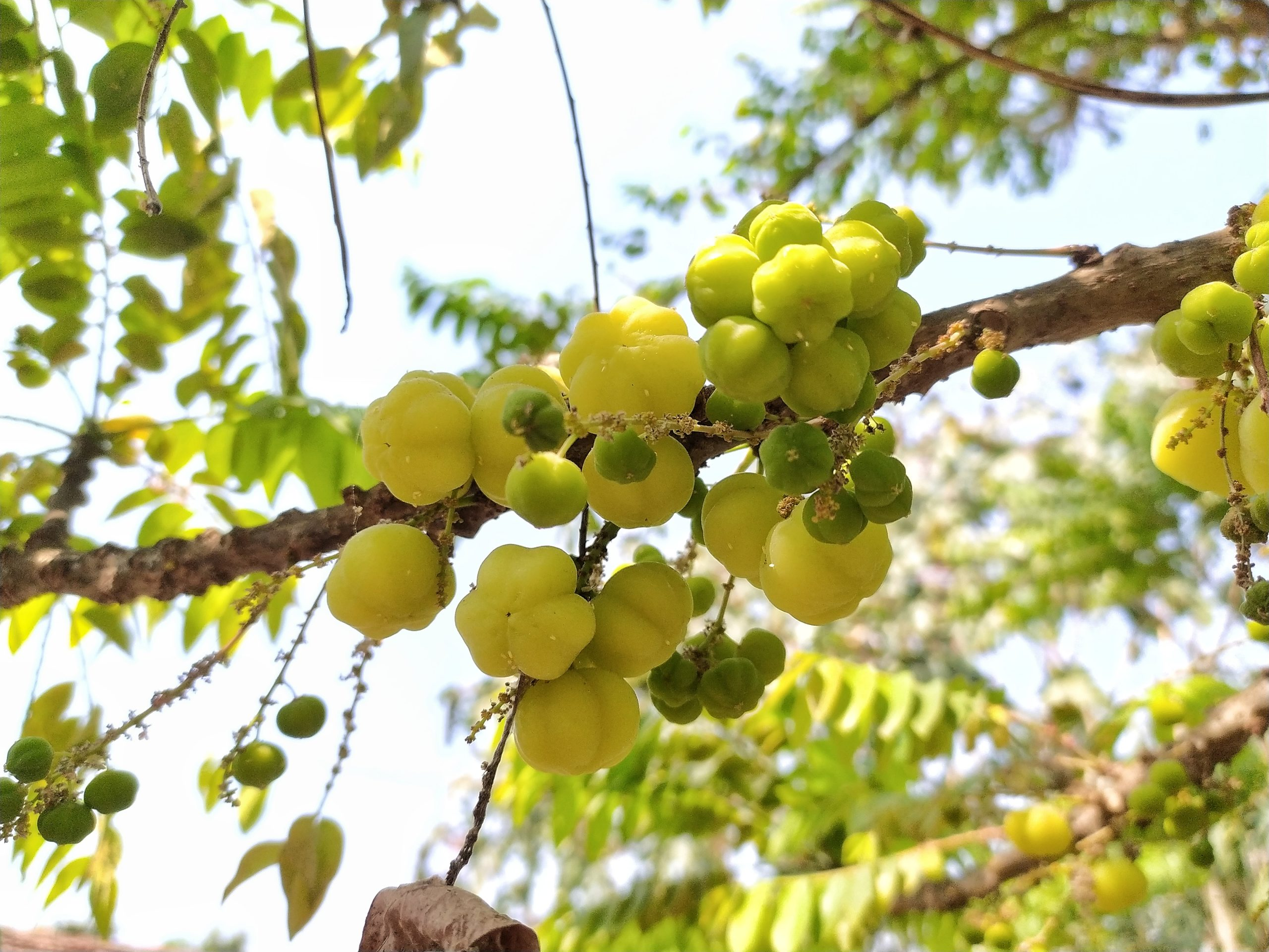 Fruits of Phyllanthus acidus
