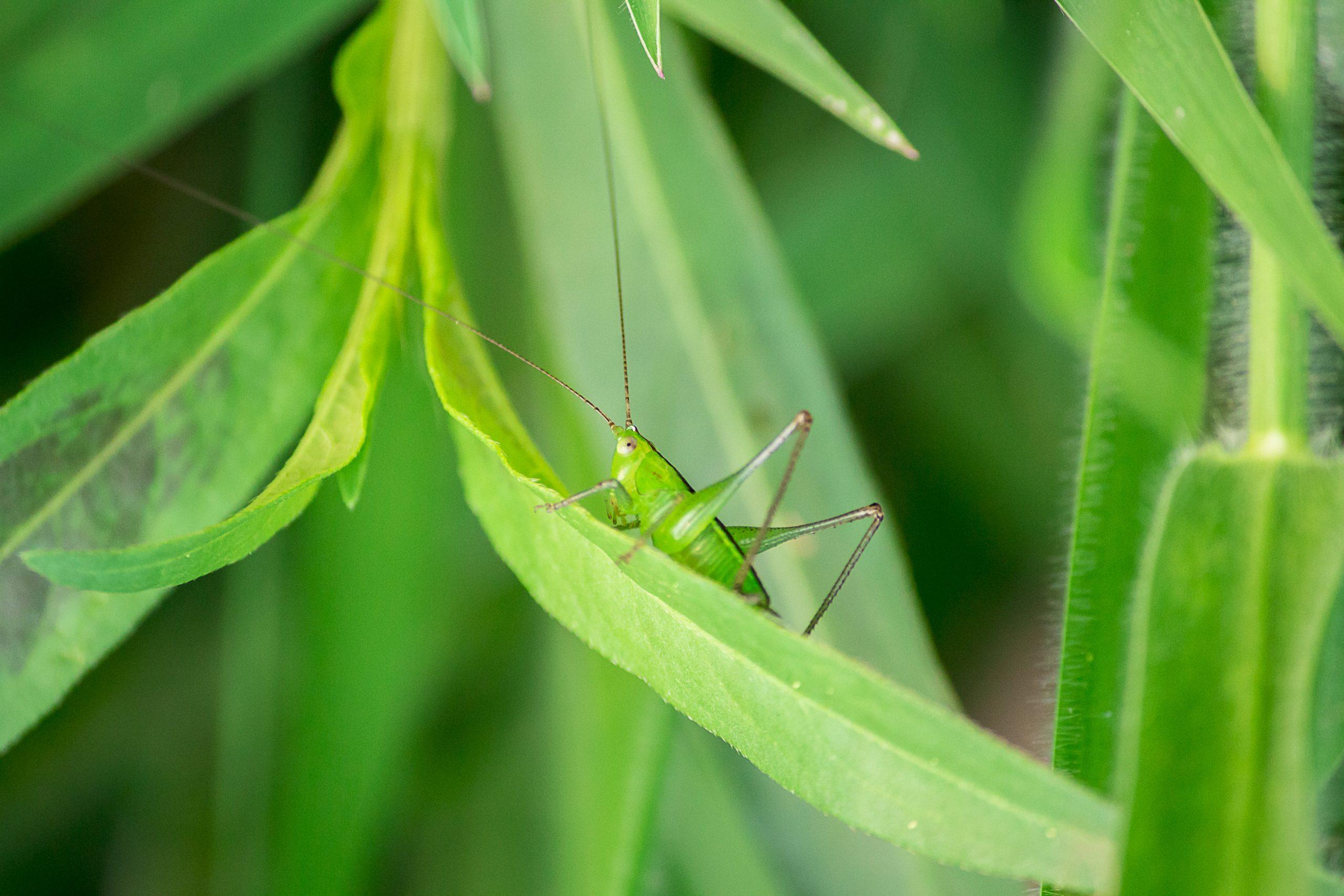 Green Grasshopper sitting on the Leaf