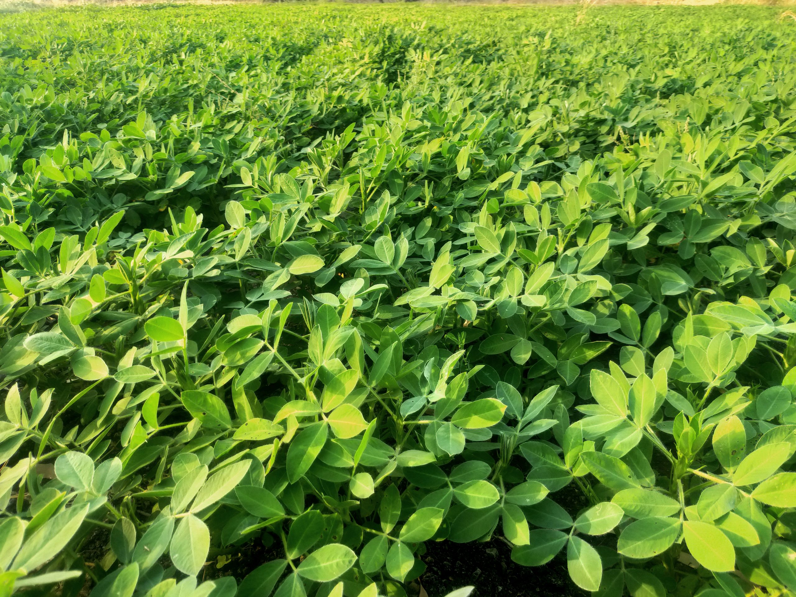 Greenery of ground nut plants
