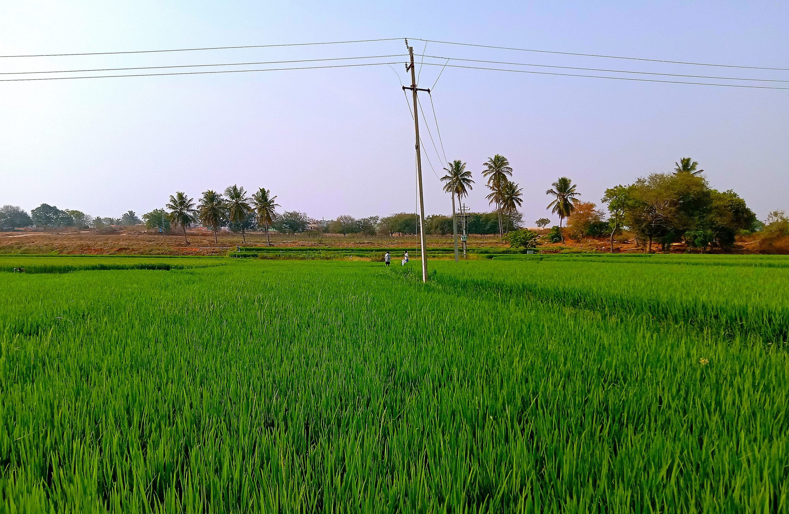Greenery of paddy fields