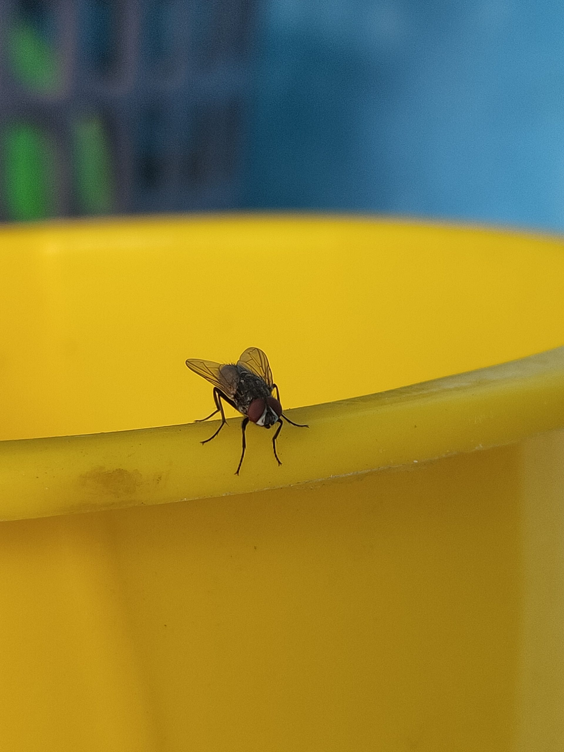 Housefly on plastic tub