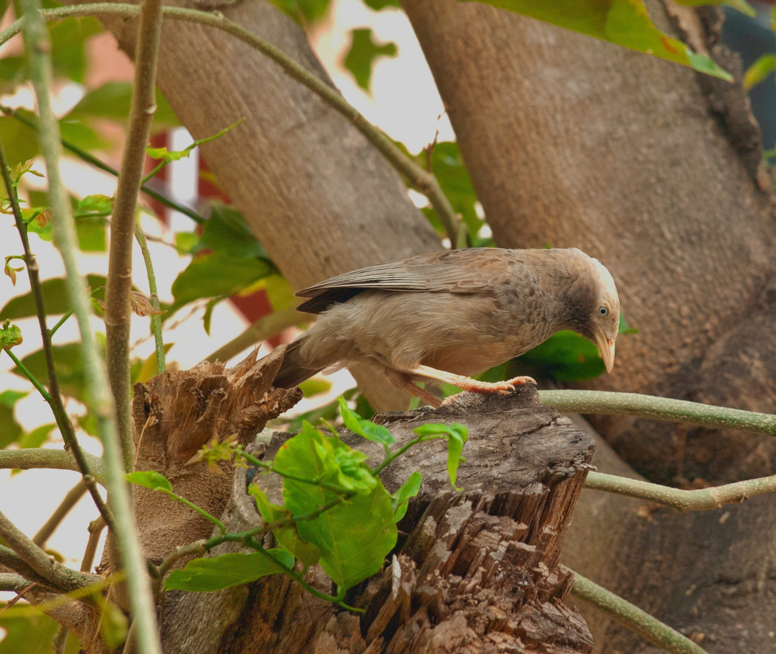 Jungle babbler on a tree