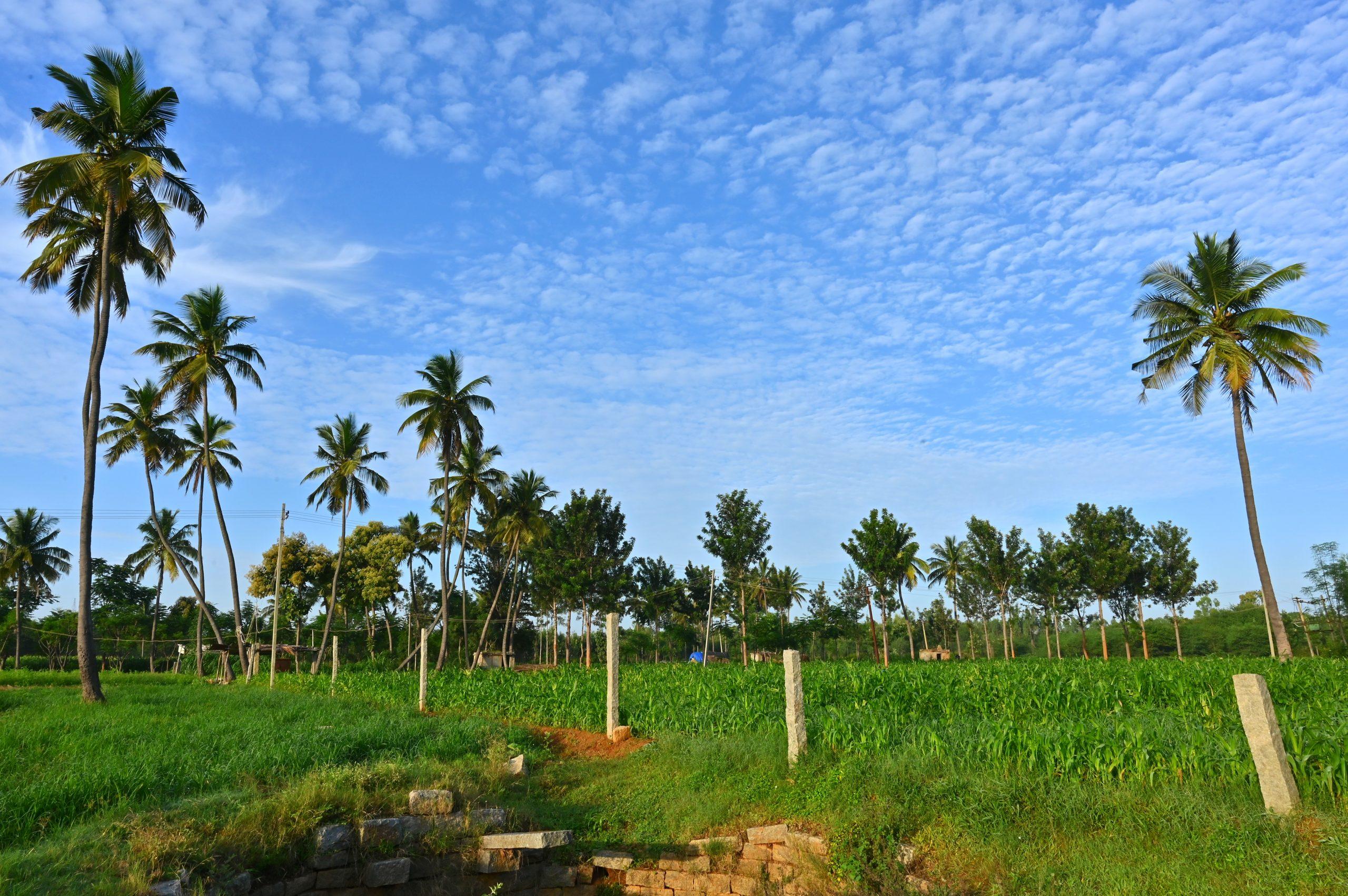Coconut trees in the farm