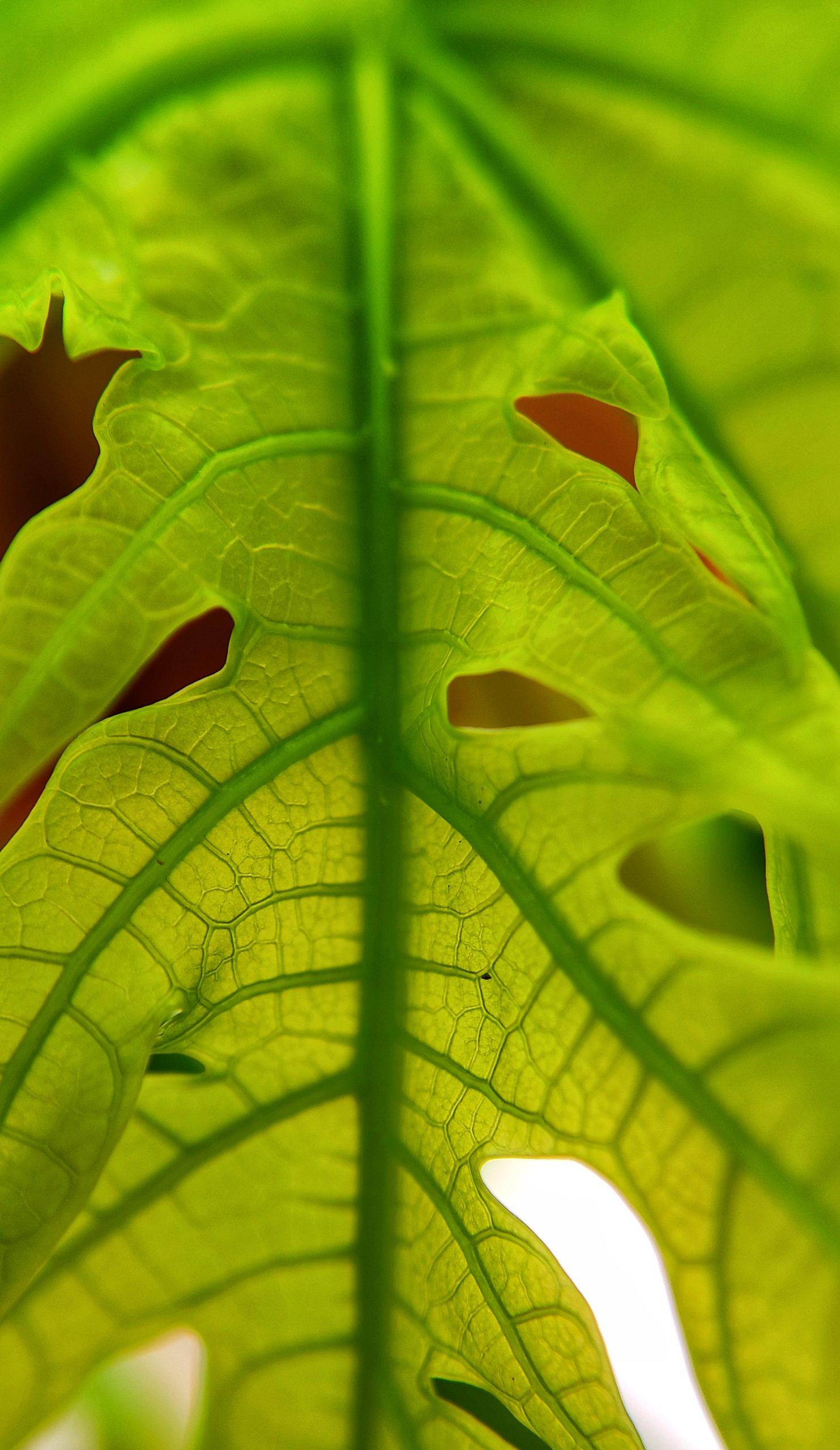 Leaf veins macro view