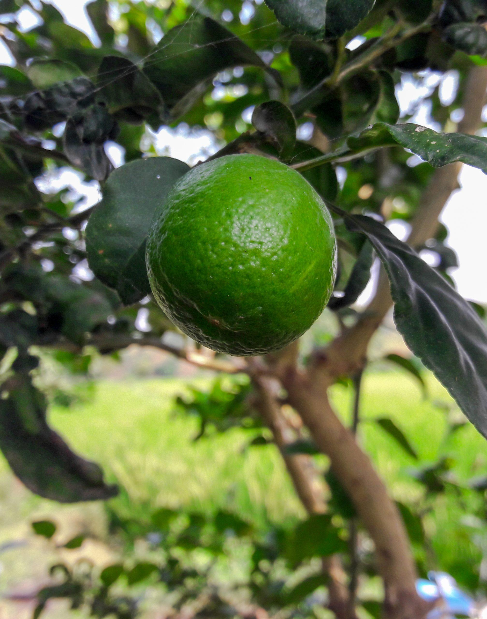 Lemon on plant