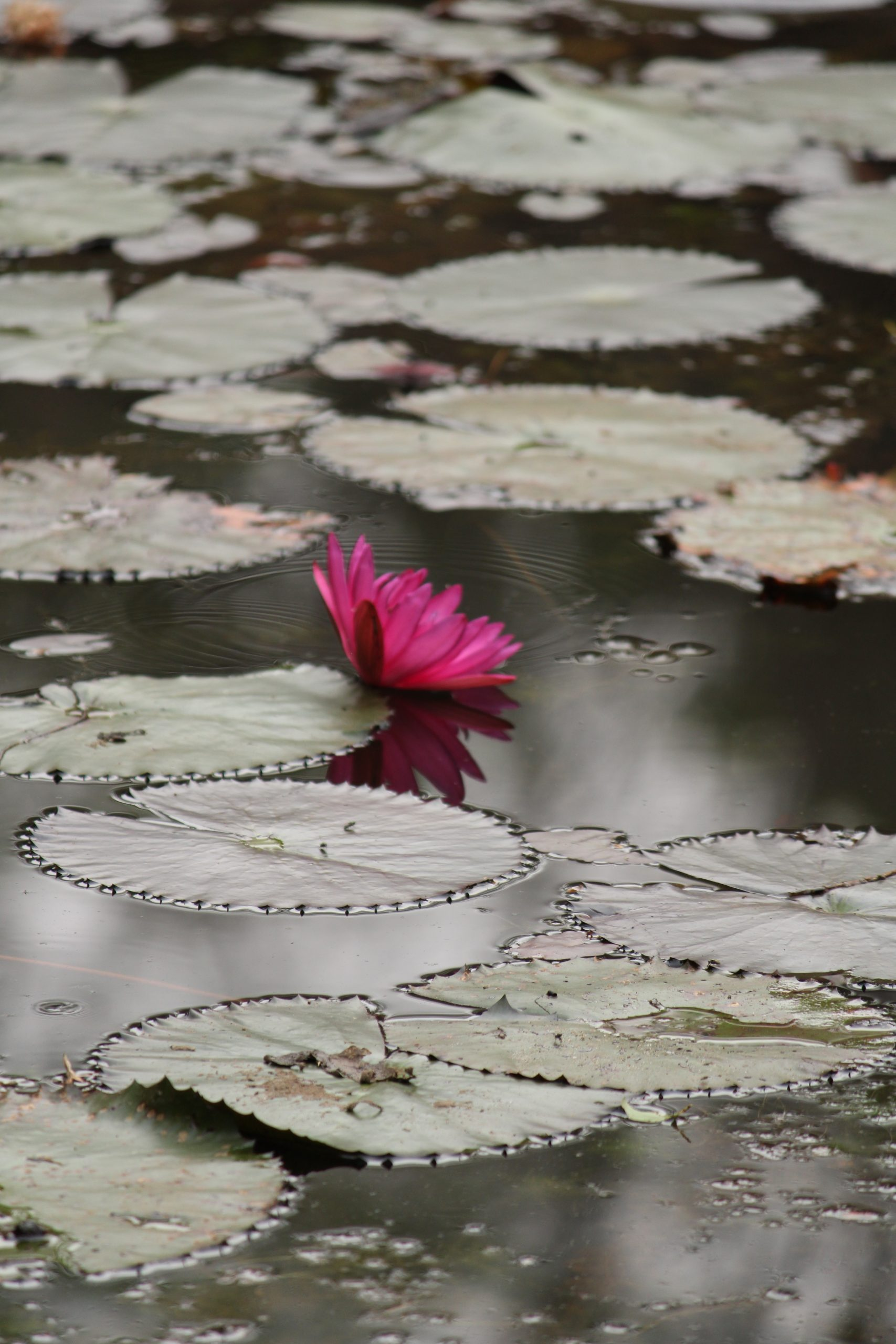 Lilly flower in the pond.