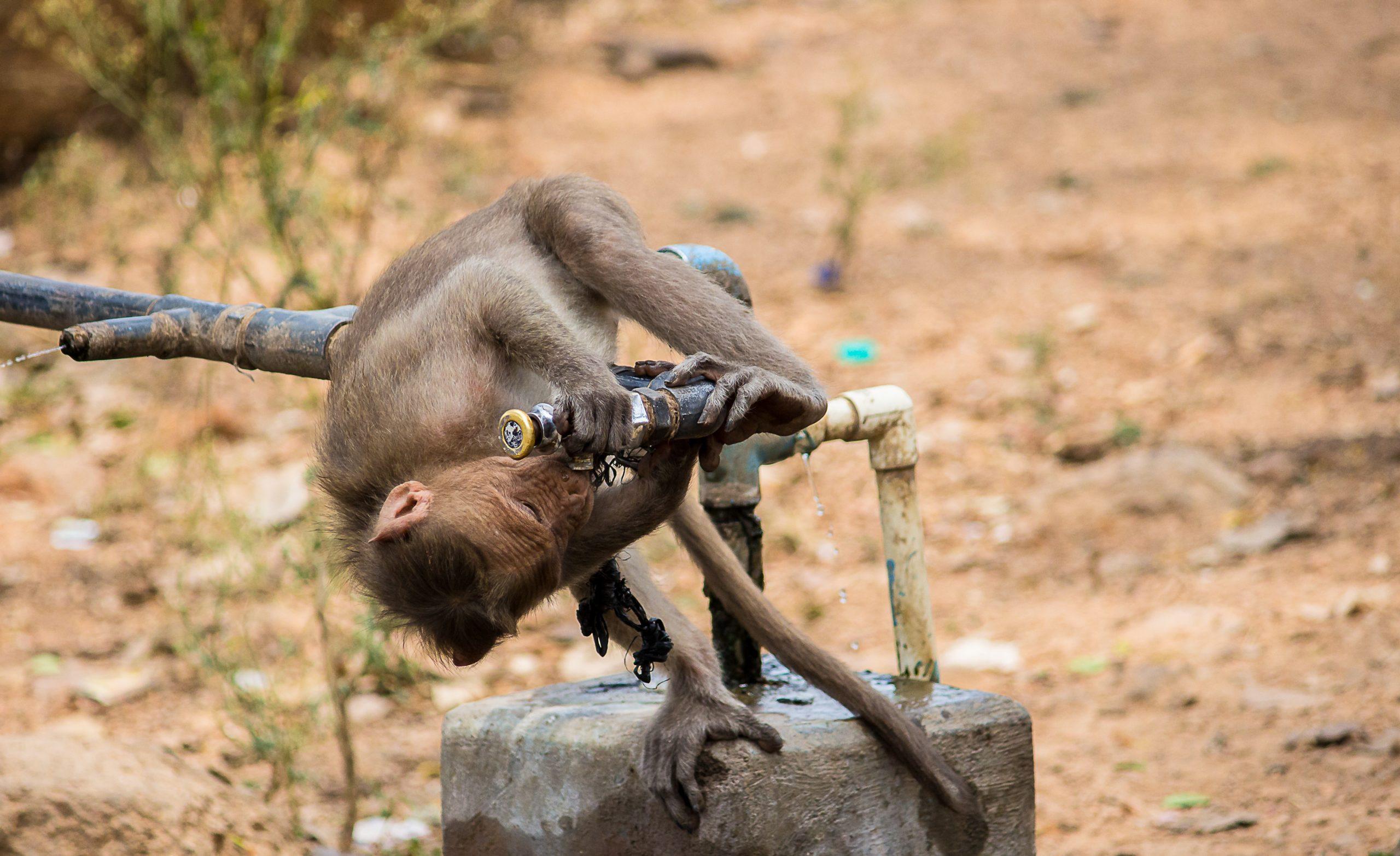Monkey Drinking Water through water tap