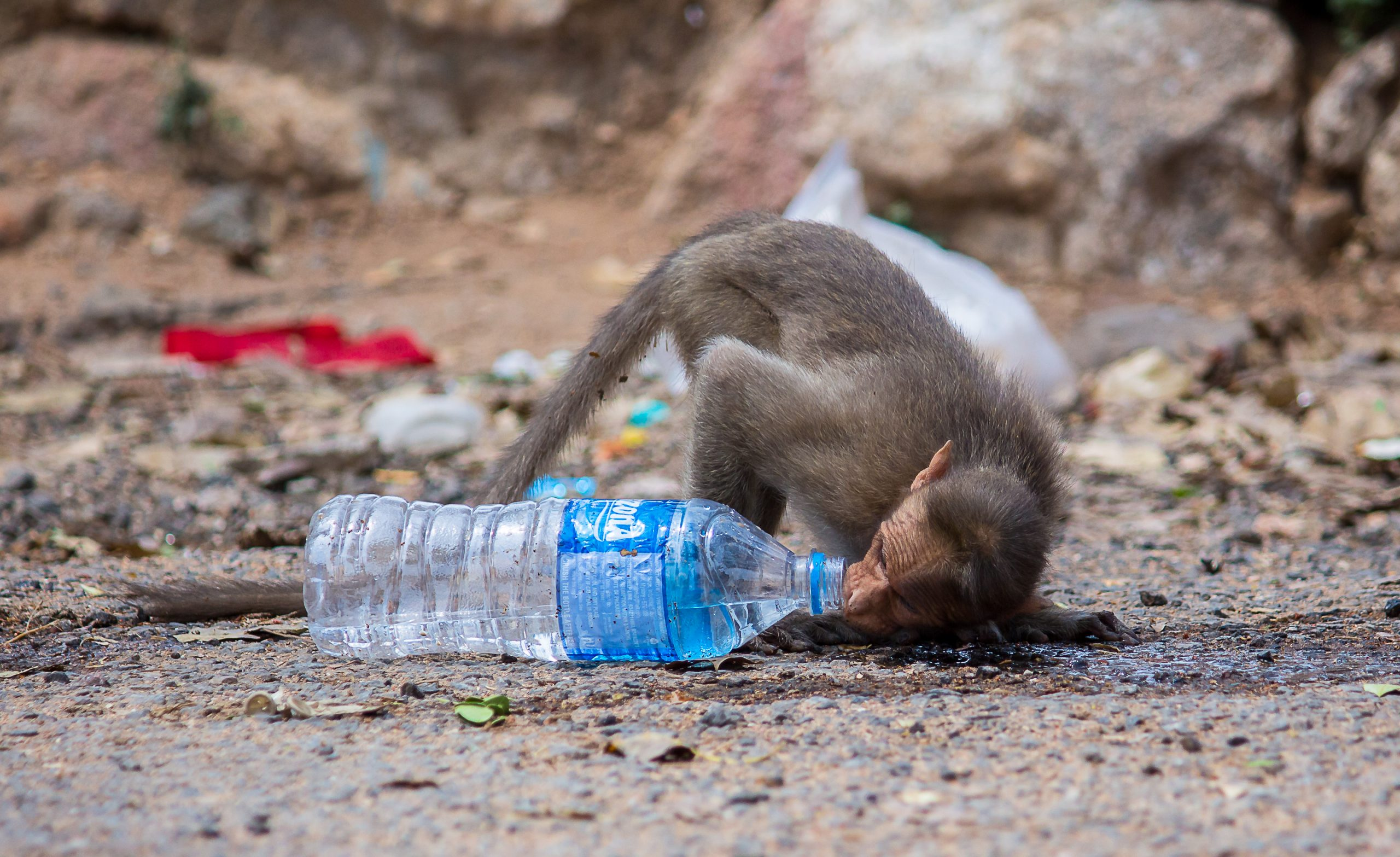 Monkey Drinking Water from the bottle