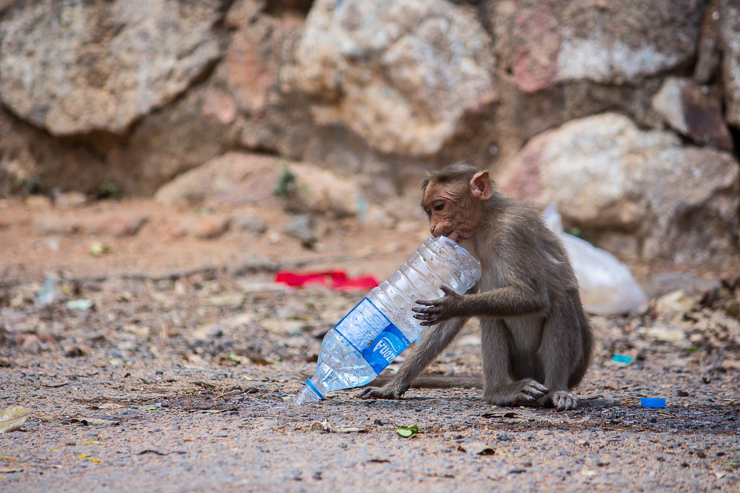 A monkey biting a plastic bottle