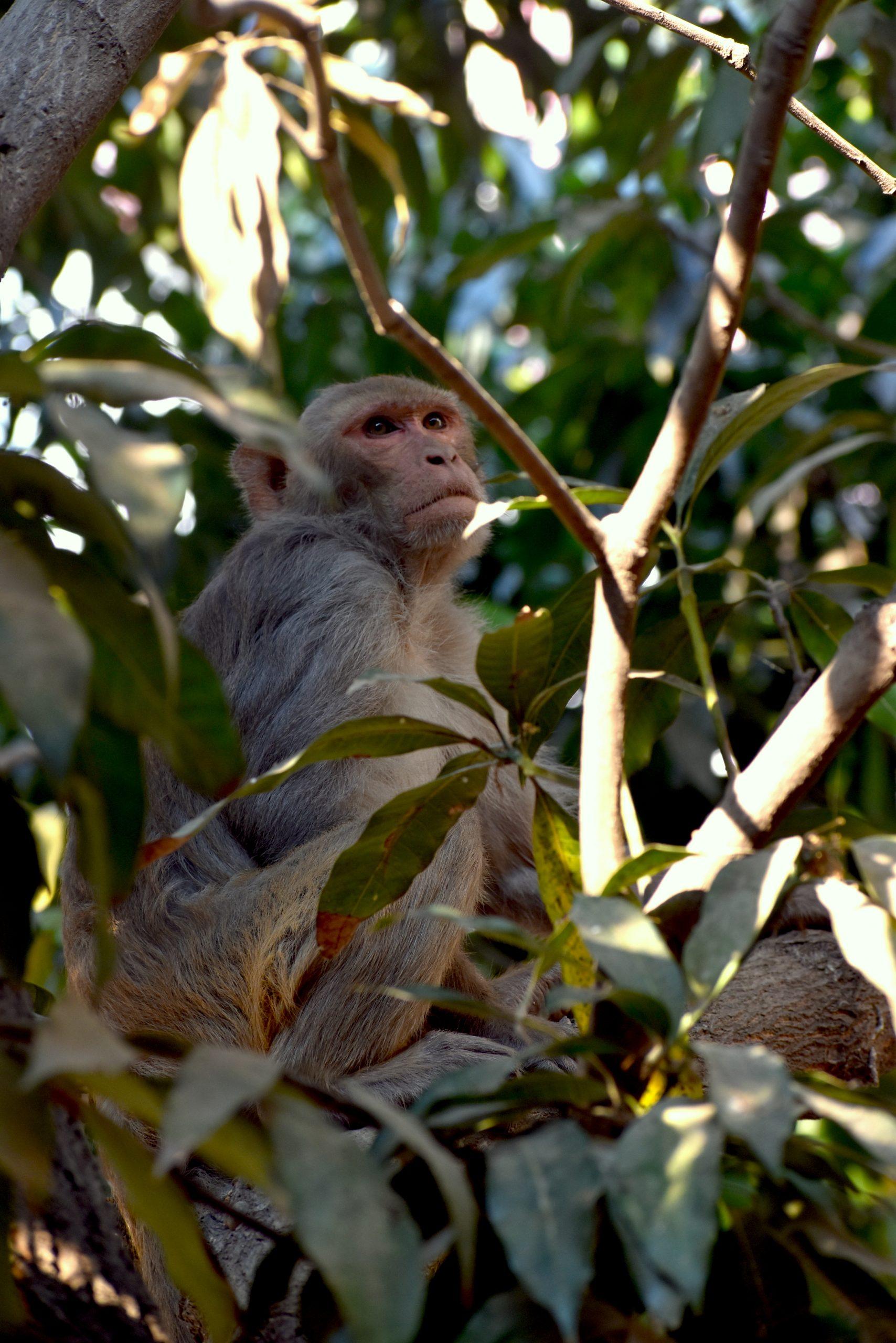 Monkey on the Mango tree