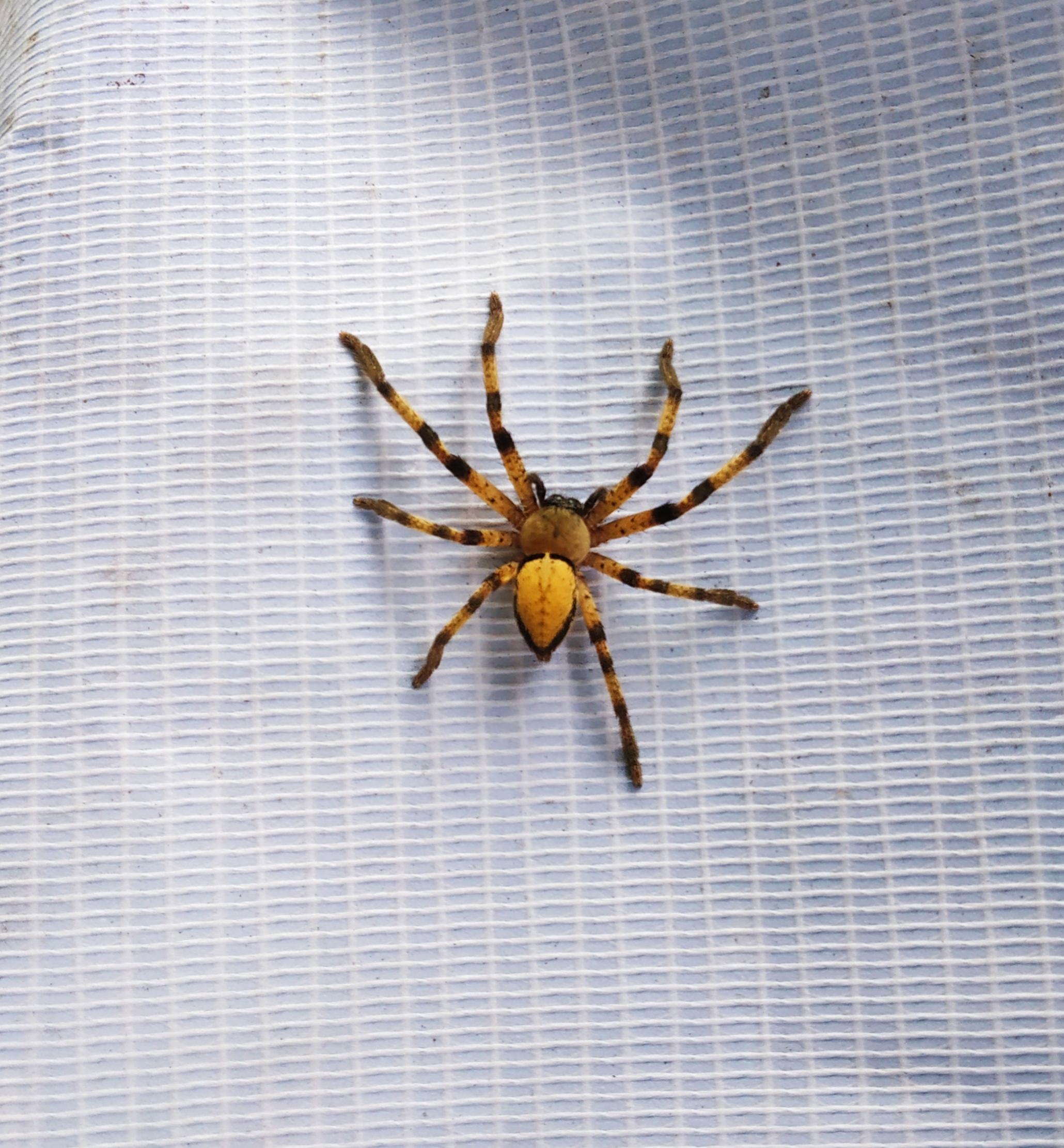 Olios Spider