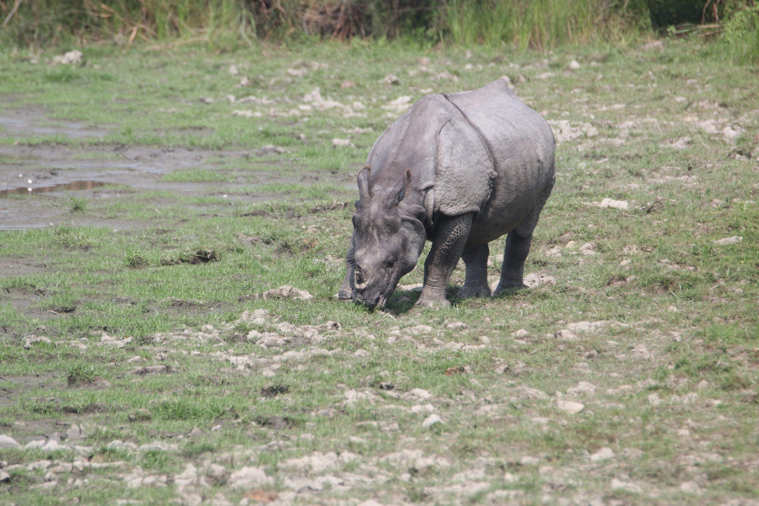A rhino in a jungle