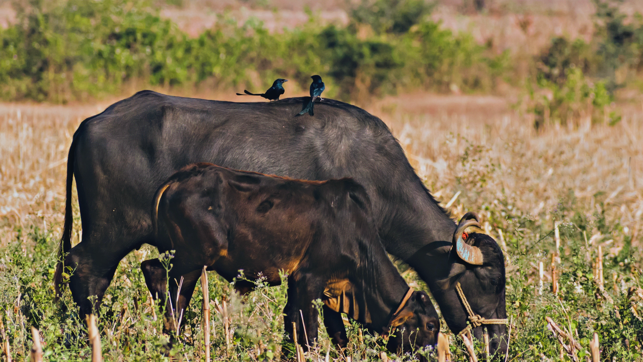 Domestic animals grazing in a field