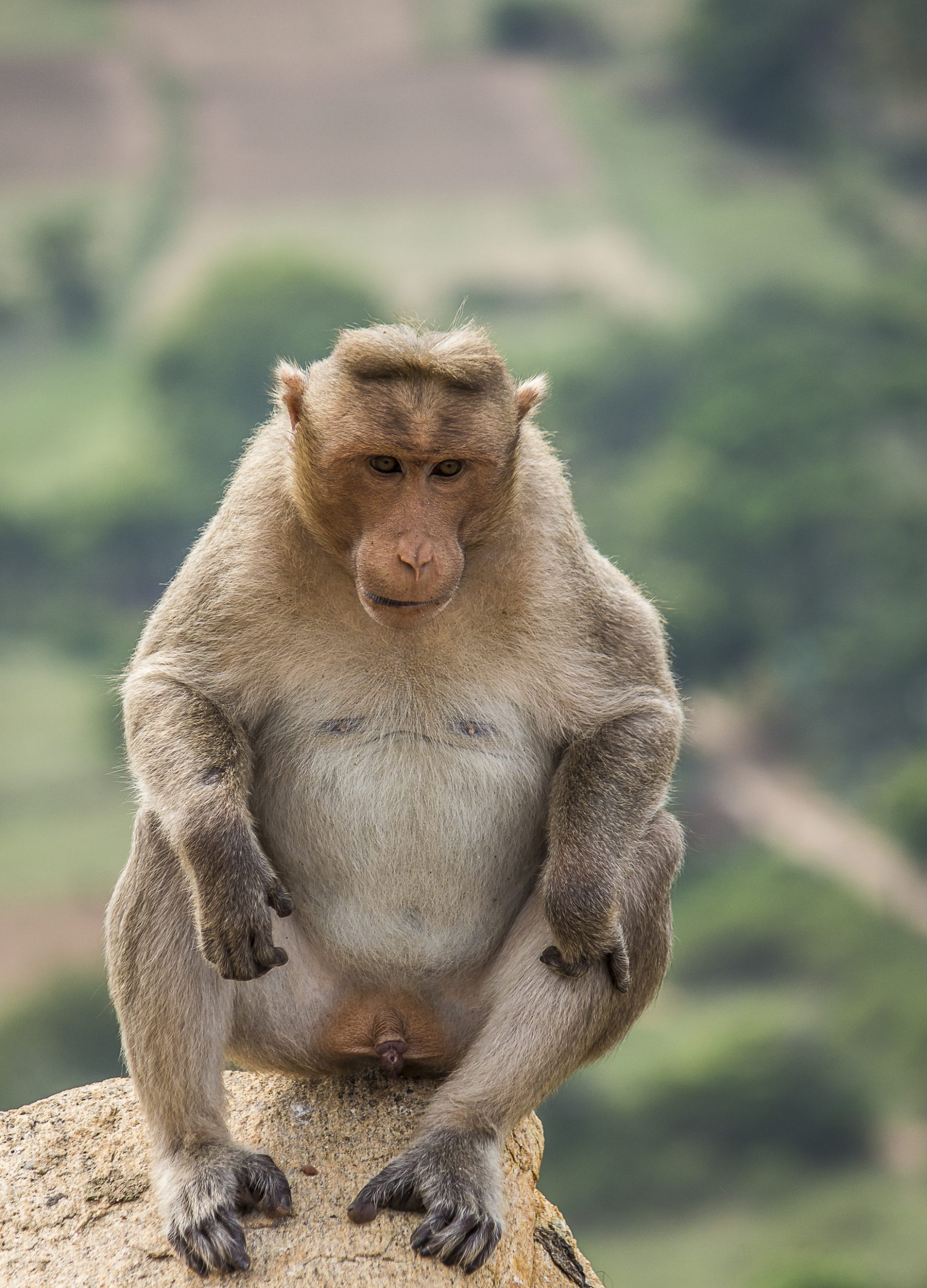 Portrait of a Bonnet macaque Monkey