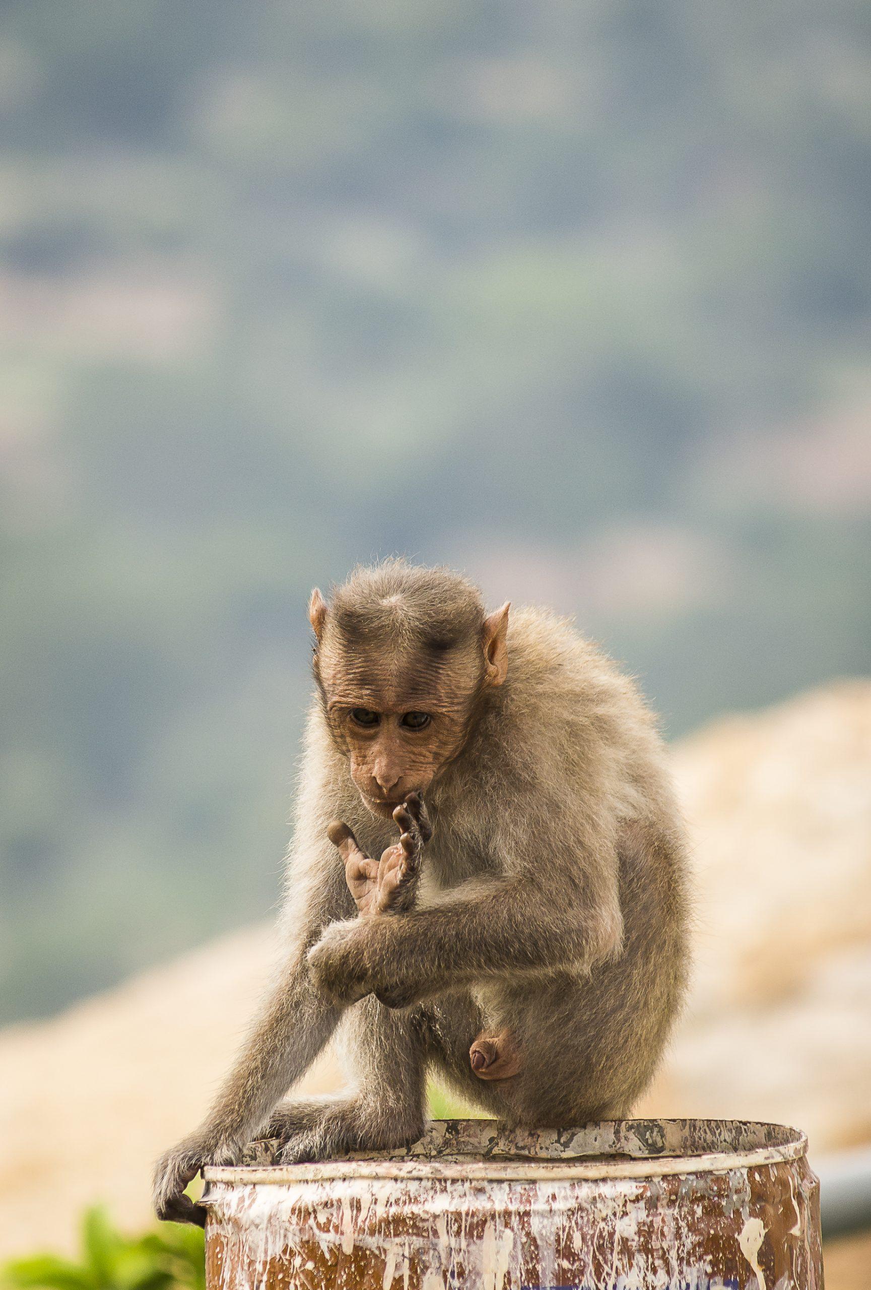 Portrait of a Bonnet macaque Monkey