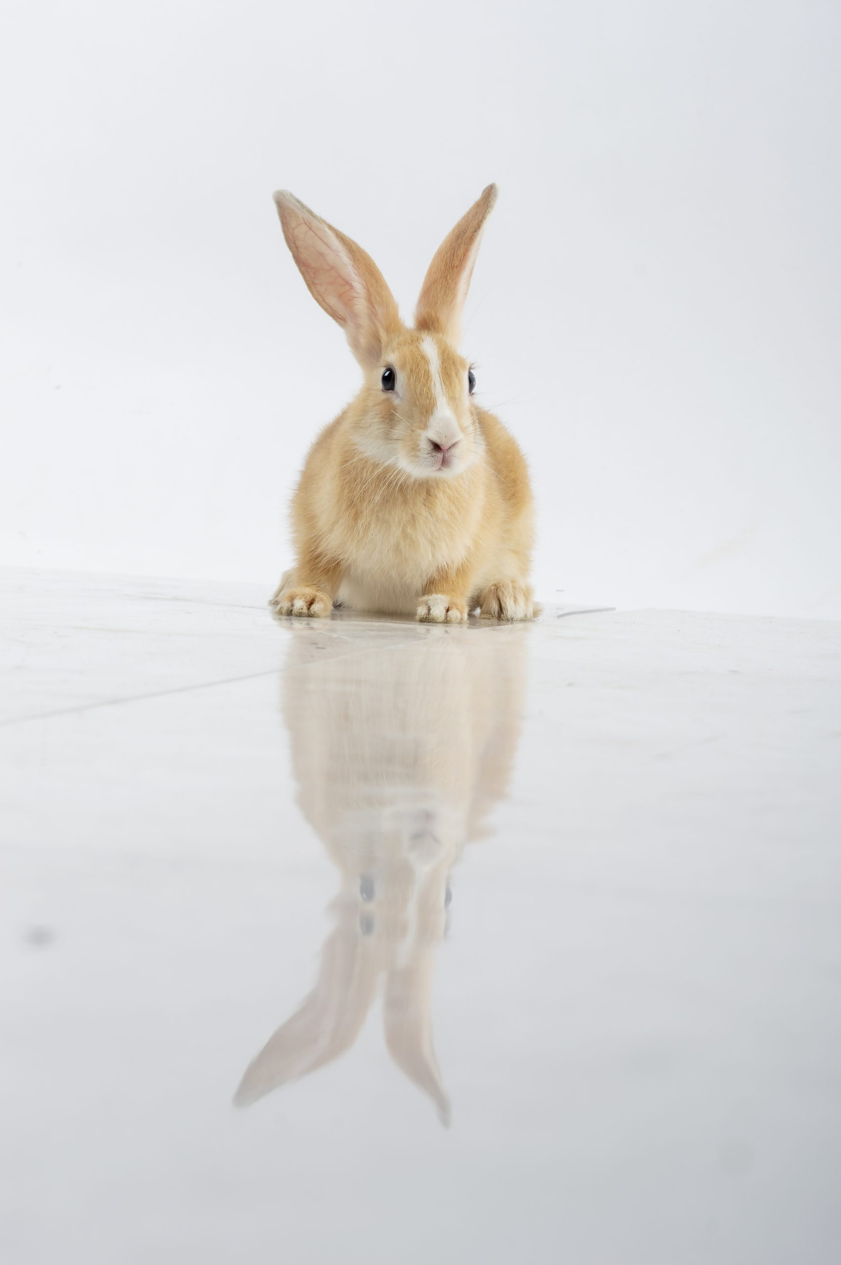 Rabbit and its reflection