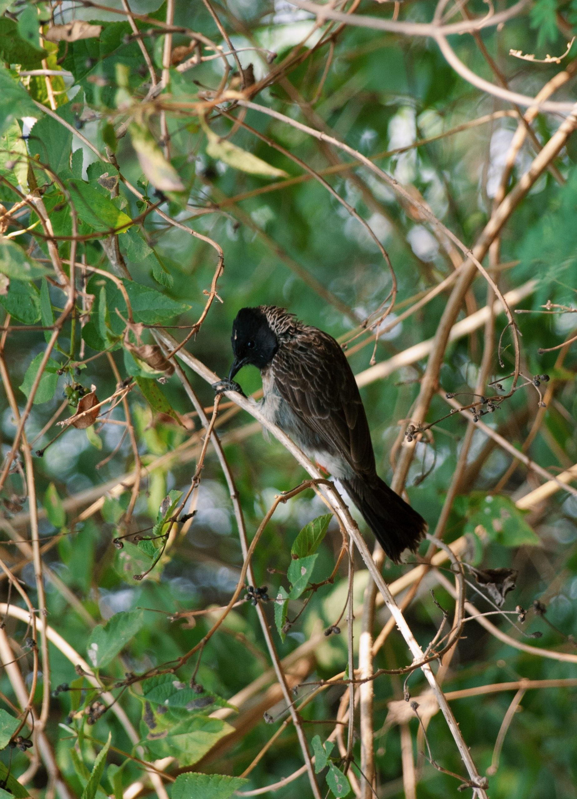 Red velvet bulbul sitting on branches