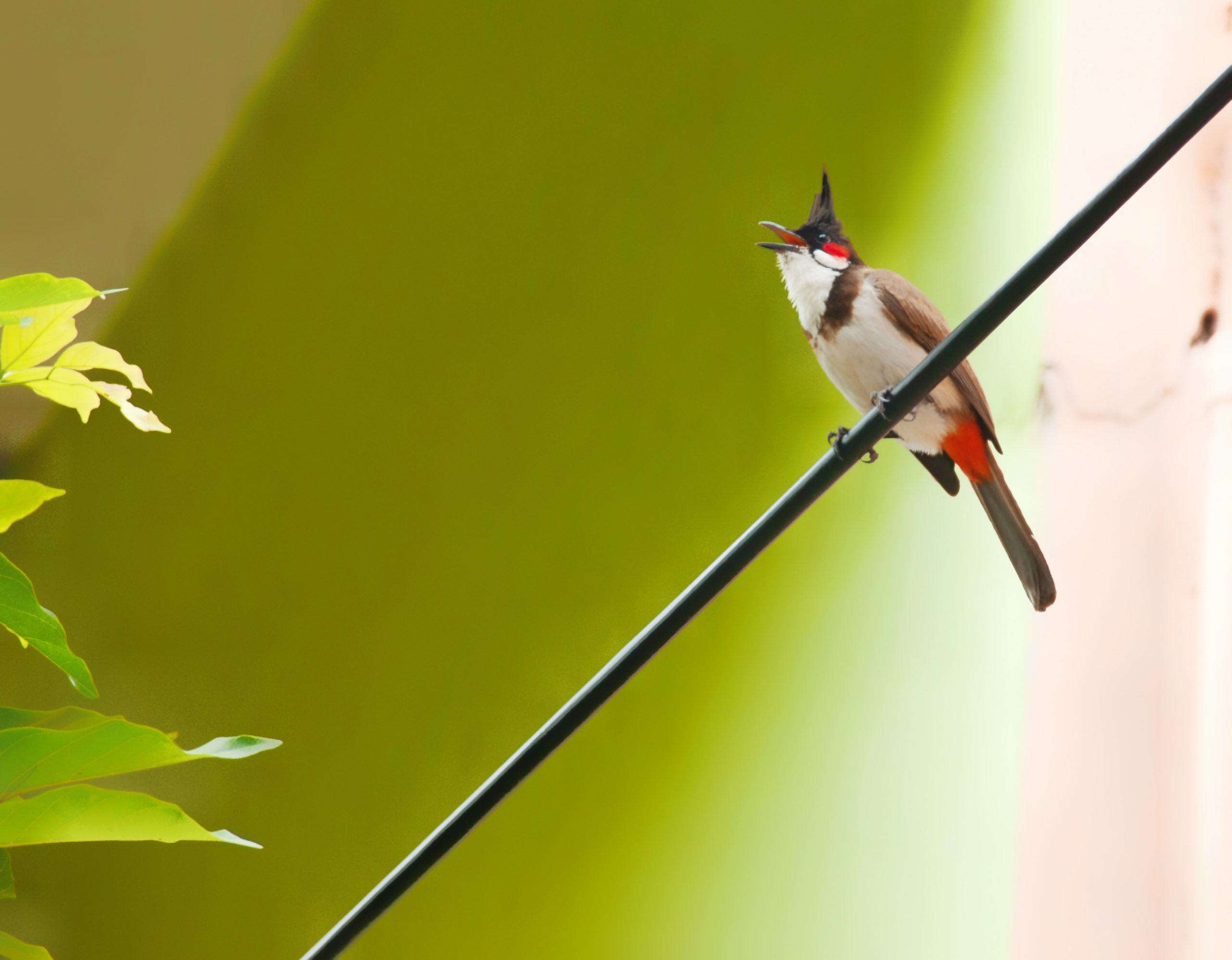 Red whiskered bulbul sitting on a cable wire