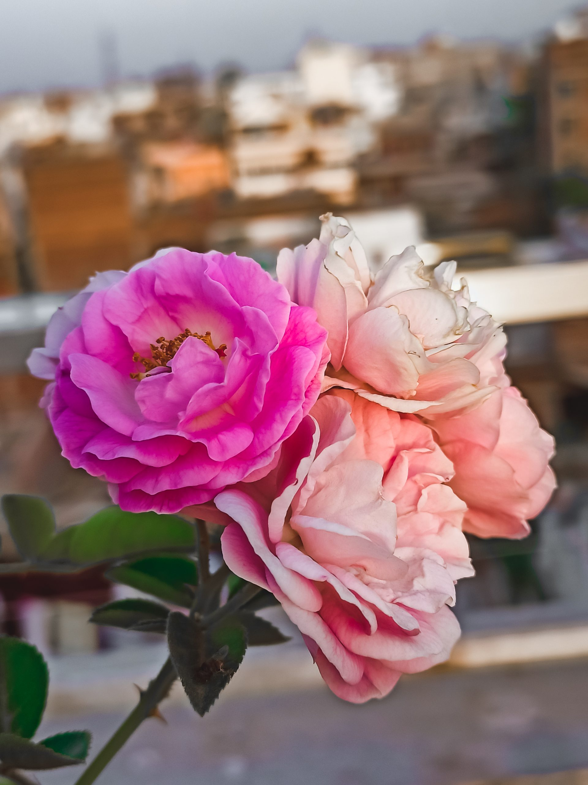 A bunch of white and pink roses