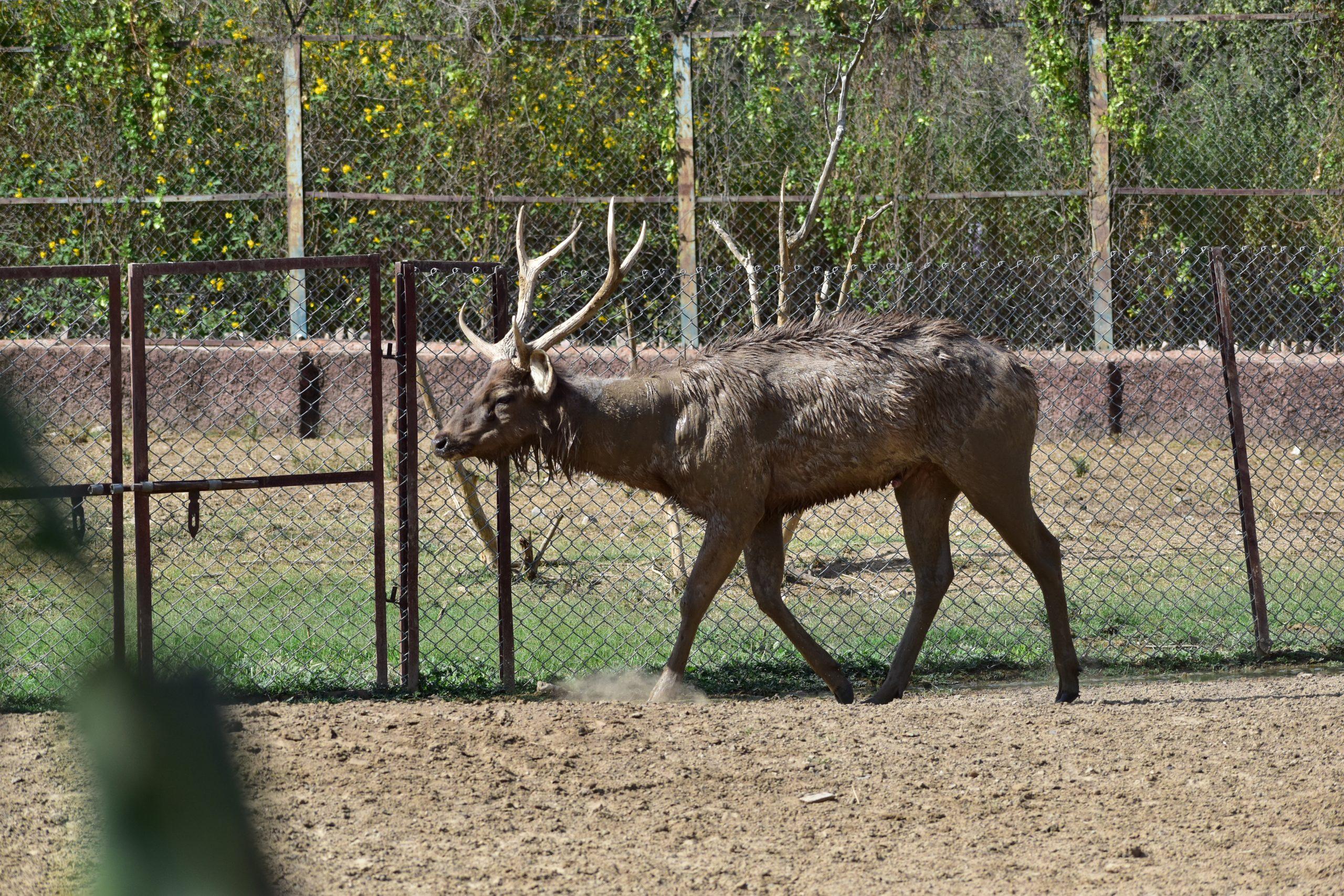 Sambhar deer in zoo
